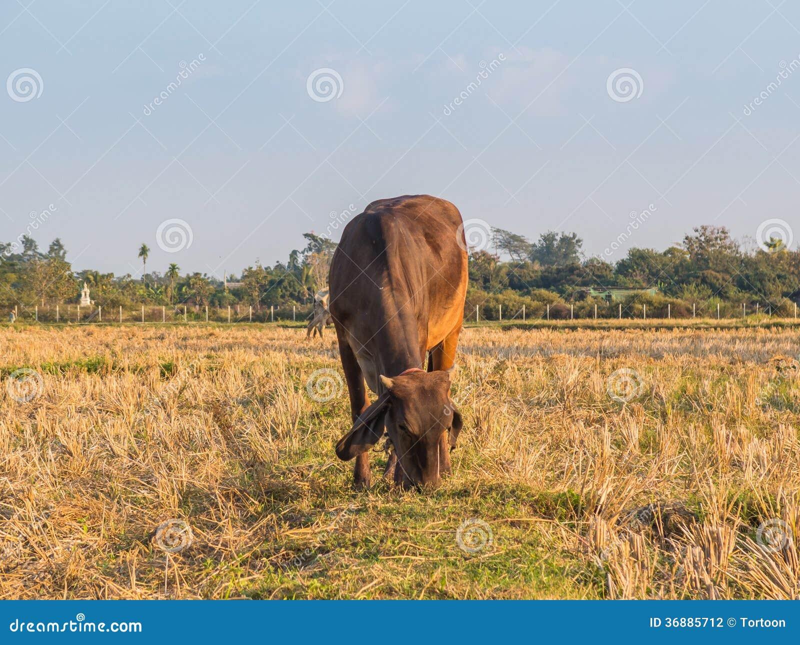 Download Mucca Sul Prato Verde Del Campo. Fotografia Stock - Immagine di campo, consumo: 36885712