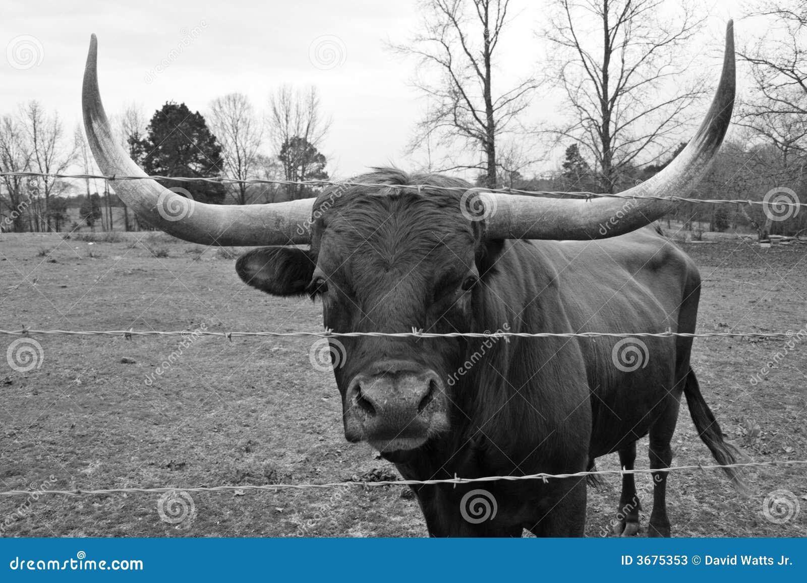 Download Mucca Texana Bull Del Texas Immagine Stock - Immagine di pascolo, mucche: 3675353
