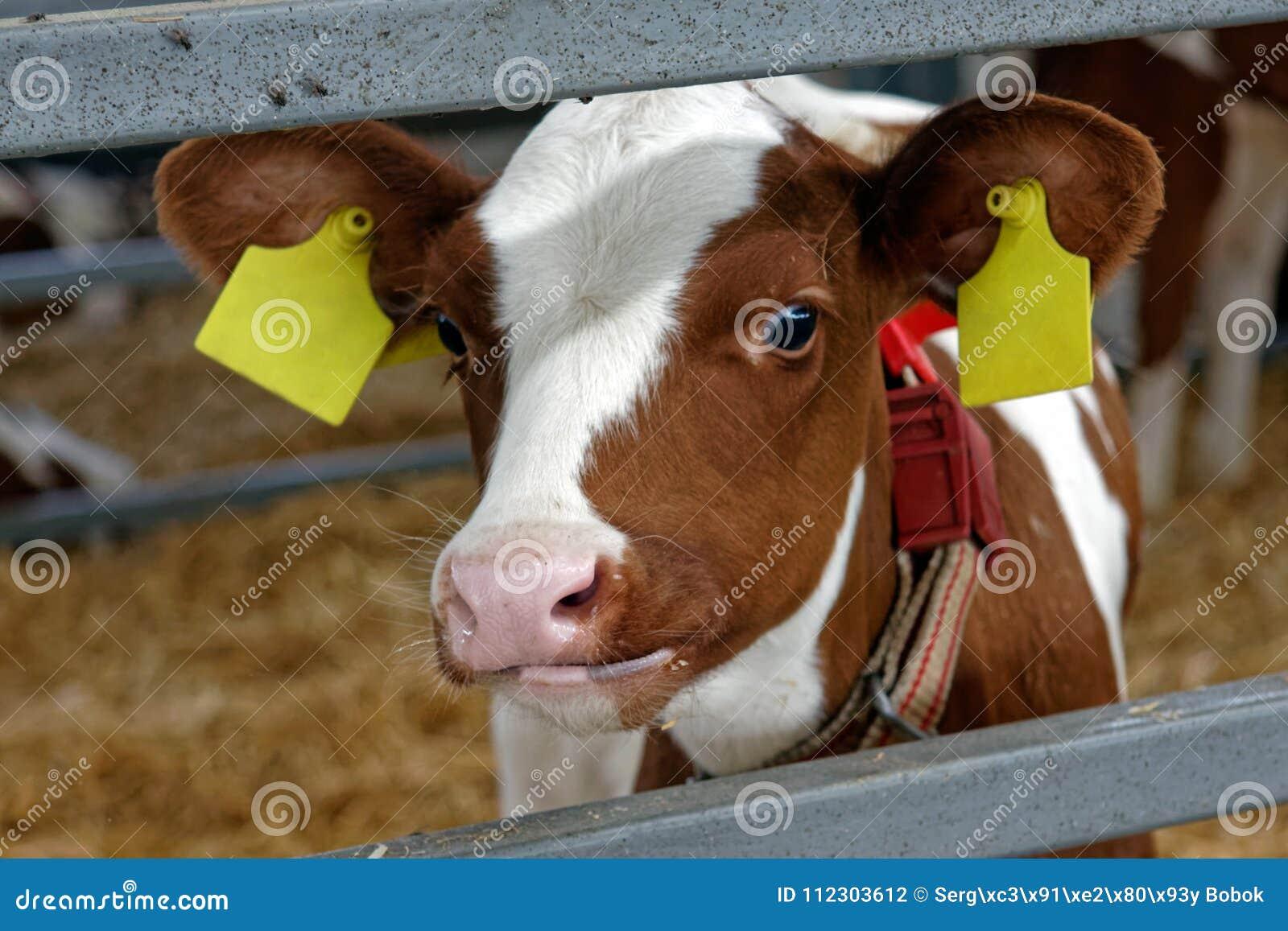 Mucca in un azienda agricola Industria di agricoltura