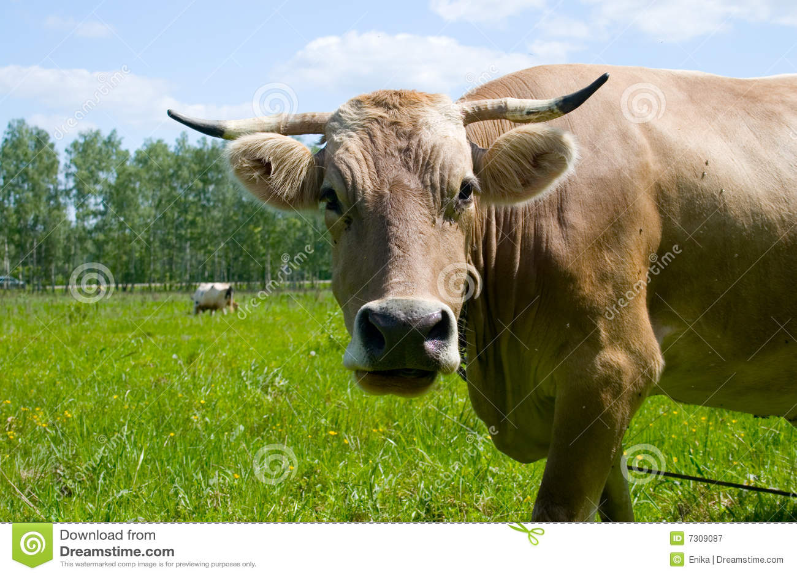 Mucca in un campo verde