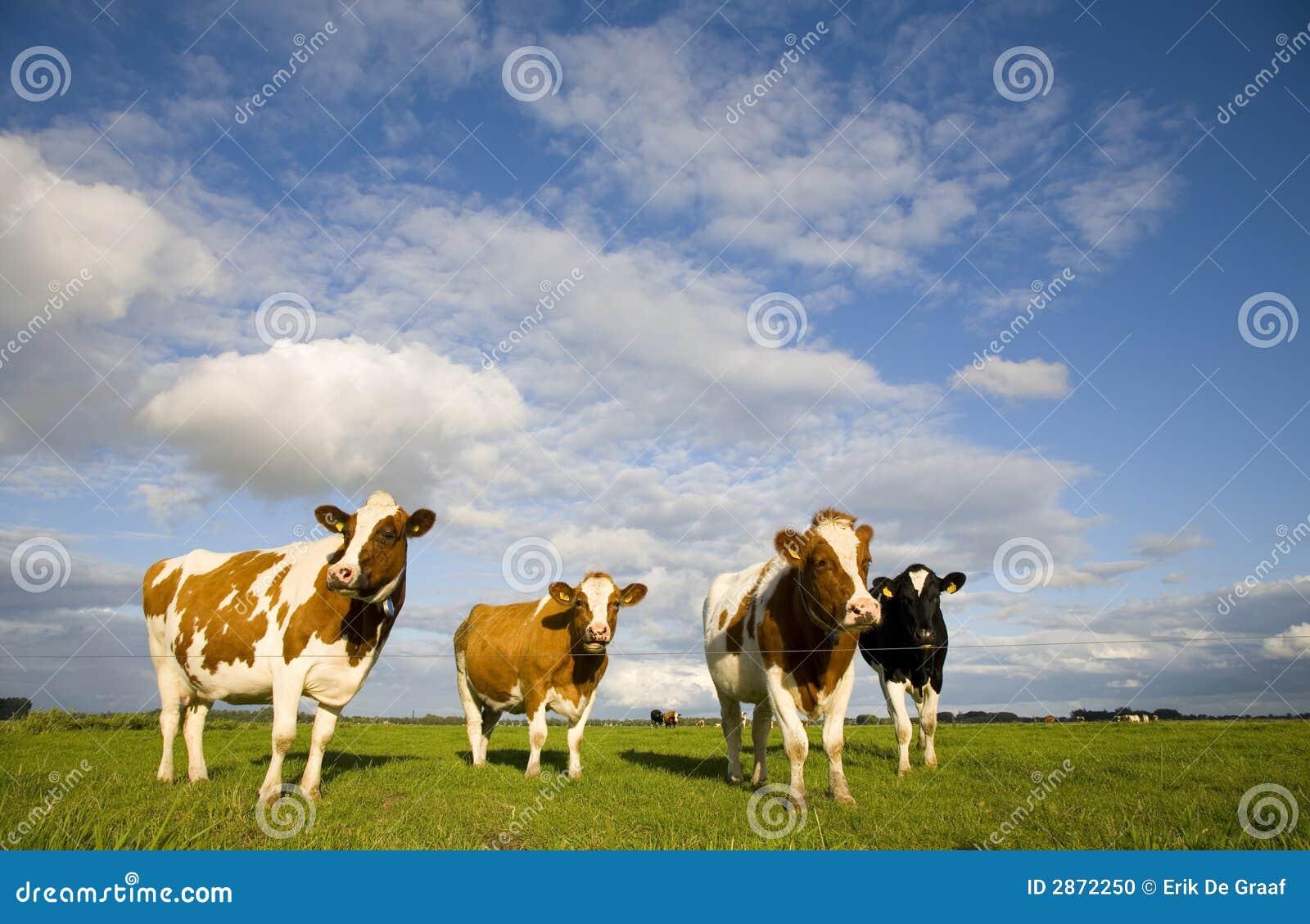 Mucche 1 del Dutch