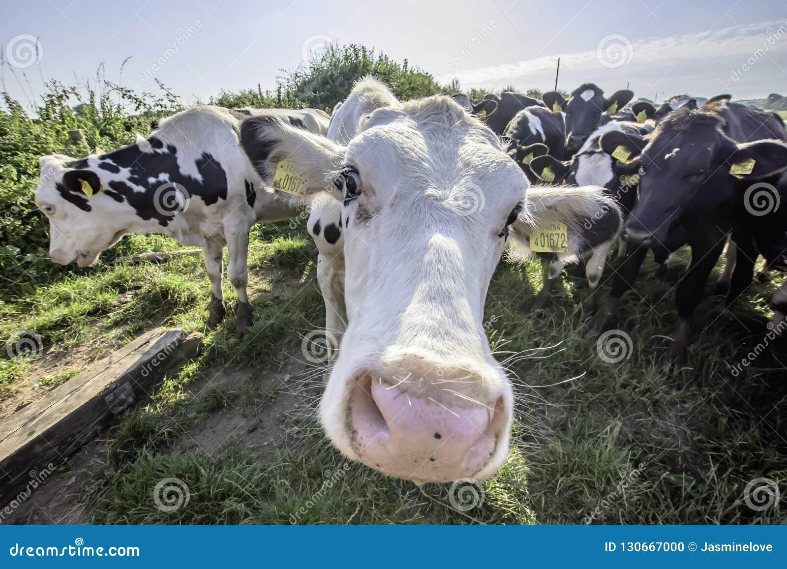 Mucche adorabili che guardano con l interesse nella macchina fotografica