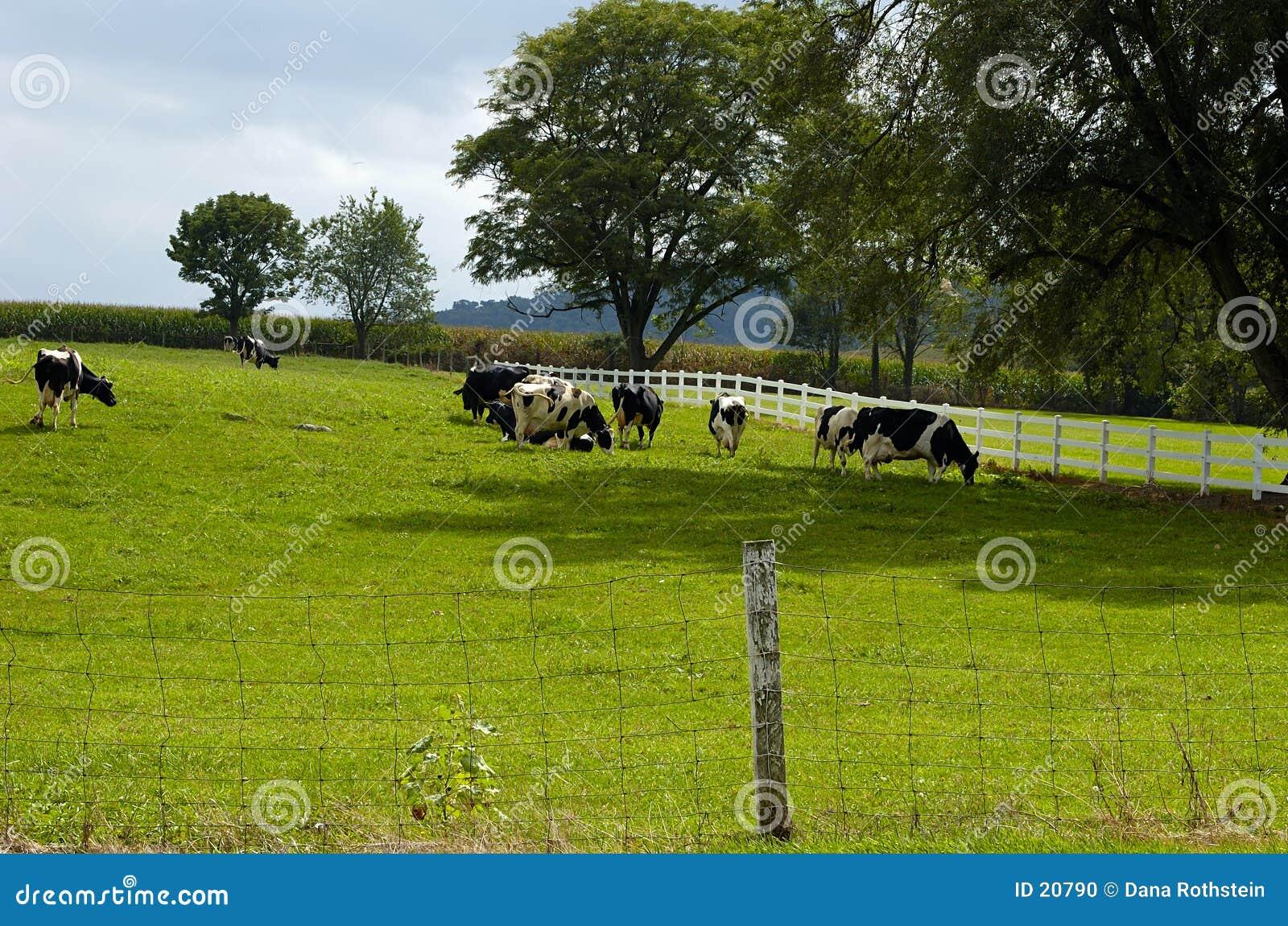 Mucche che pascono