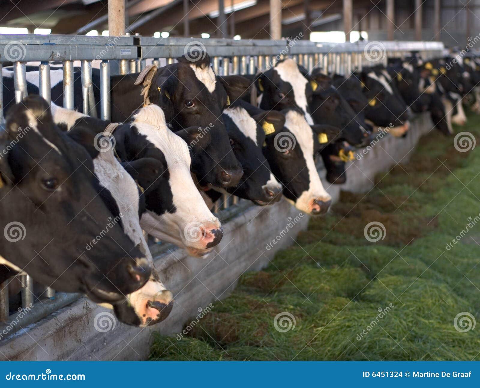 Mucche d alimentazione in scuderia