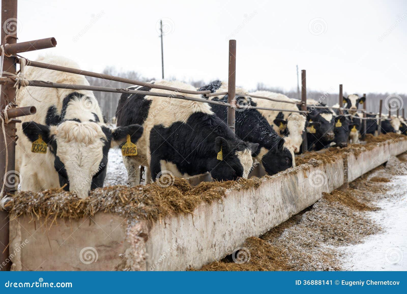 Download Mucche D'alimentazione Sull'azienda Agricola Nell'inverno Immagine Stock - Immagine di inverno, pascolo: 36888141