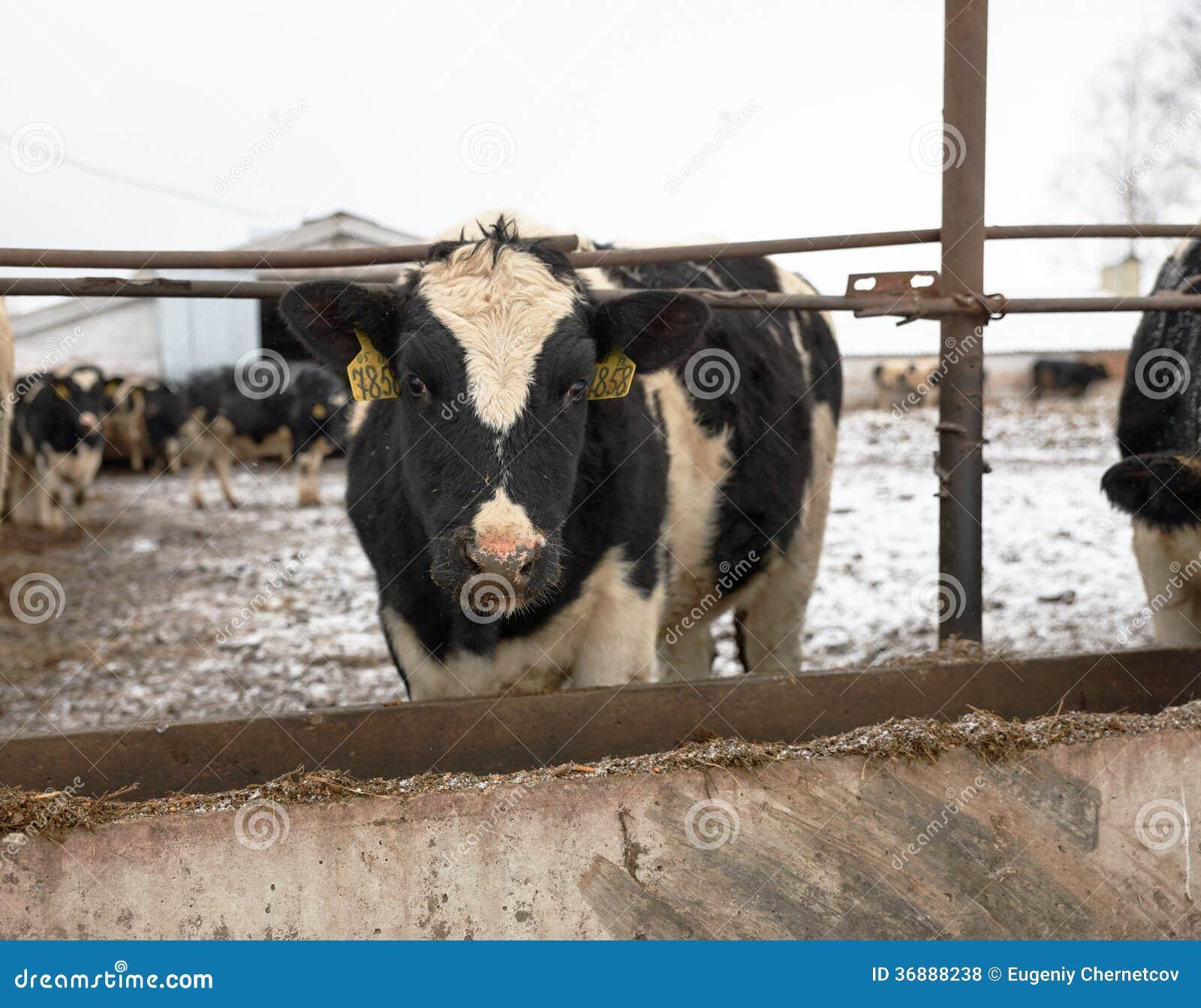 Download Mucche D'alimentazione Sull'azienda Agricola Nell'inverno Fotografia Stock - Immagine di rurale, agricoltura: 36888238