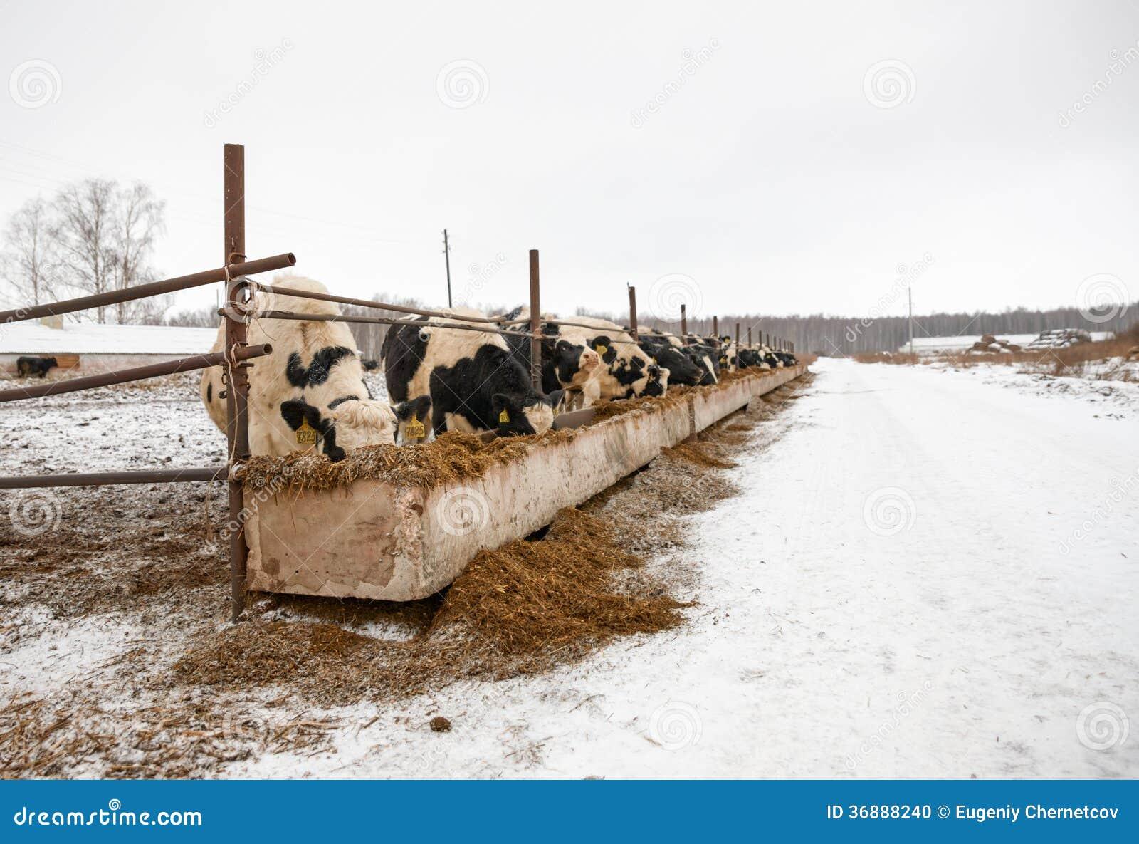 Download Mucche D'alimentazione Sull'azienda Agricola Nell'inverno Fotografia Stock - Immagine di neve, stalla: 36888240