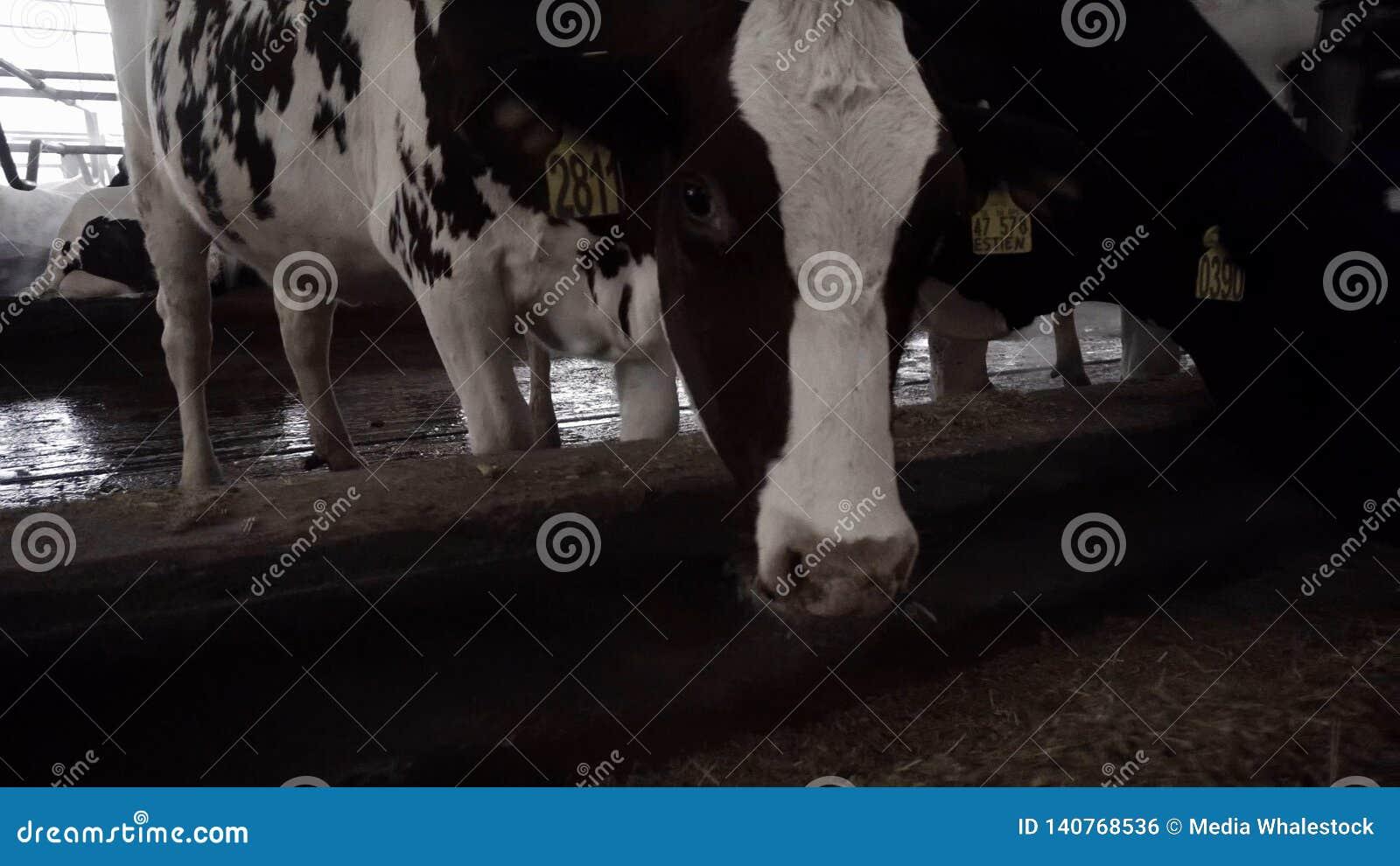 piano di dieta di vacca da latte