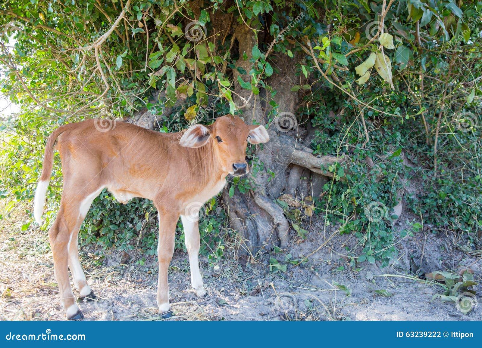 Mucche del bambino