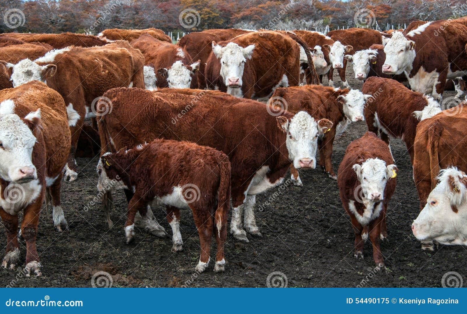 Mucche del bestiame di Hereford