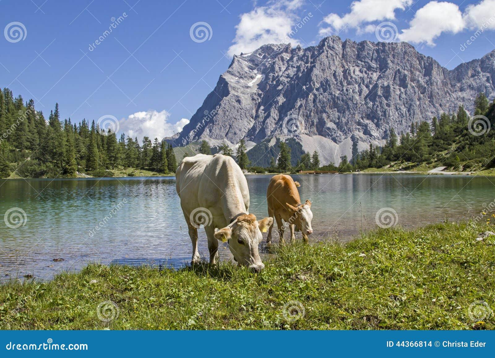 Mucche e Zugspitze