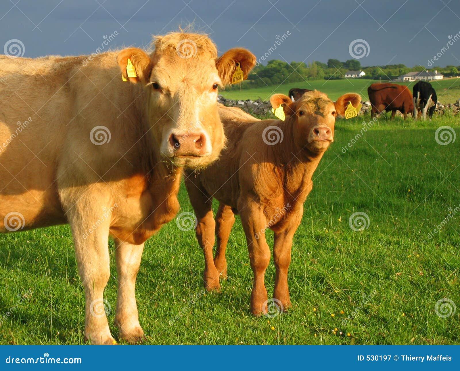 Mucche irlandesi