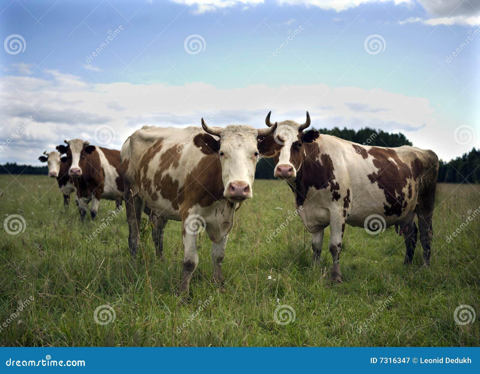 Mucche in natura
