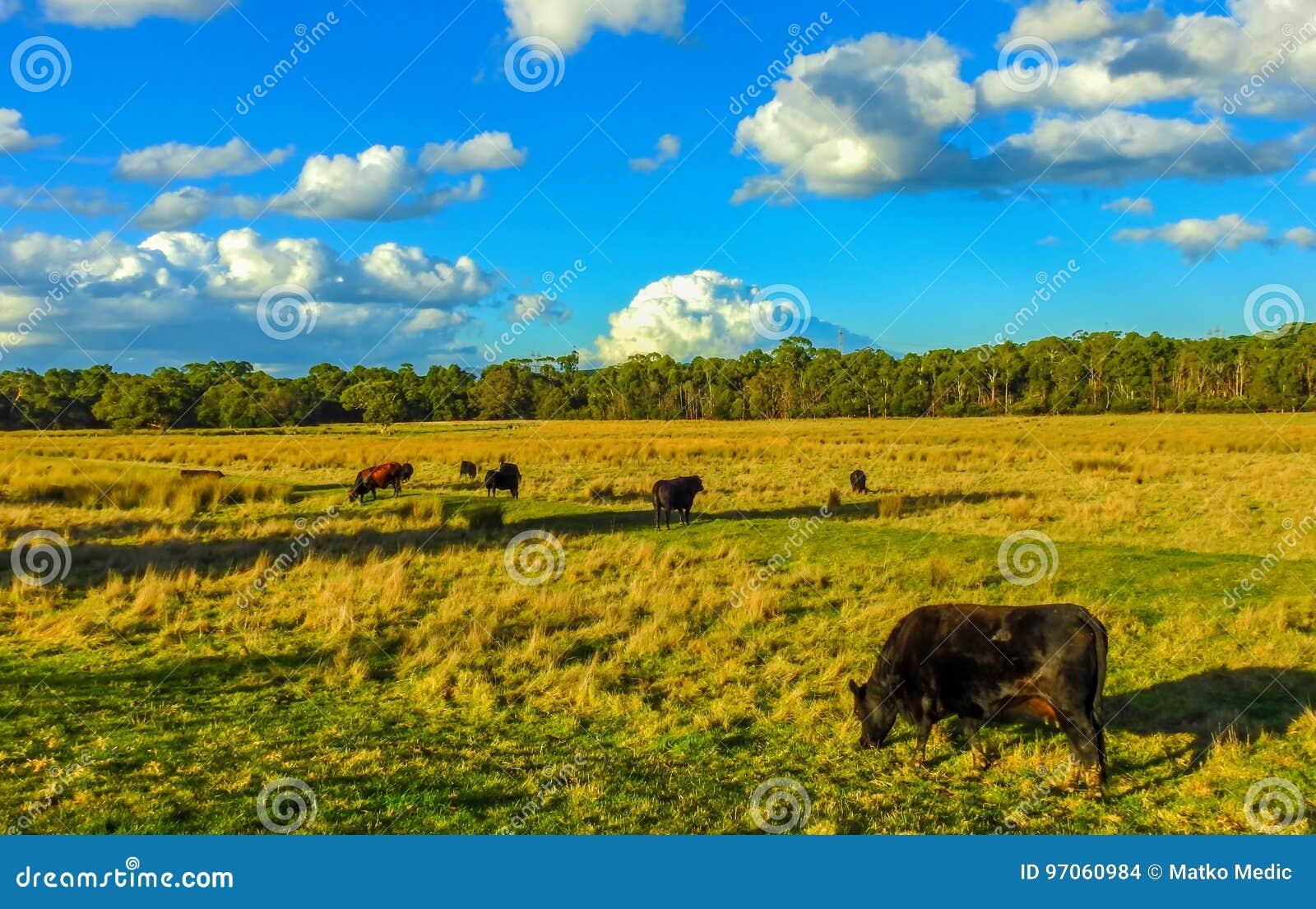 Mucche nel campo 2
