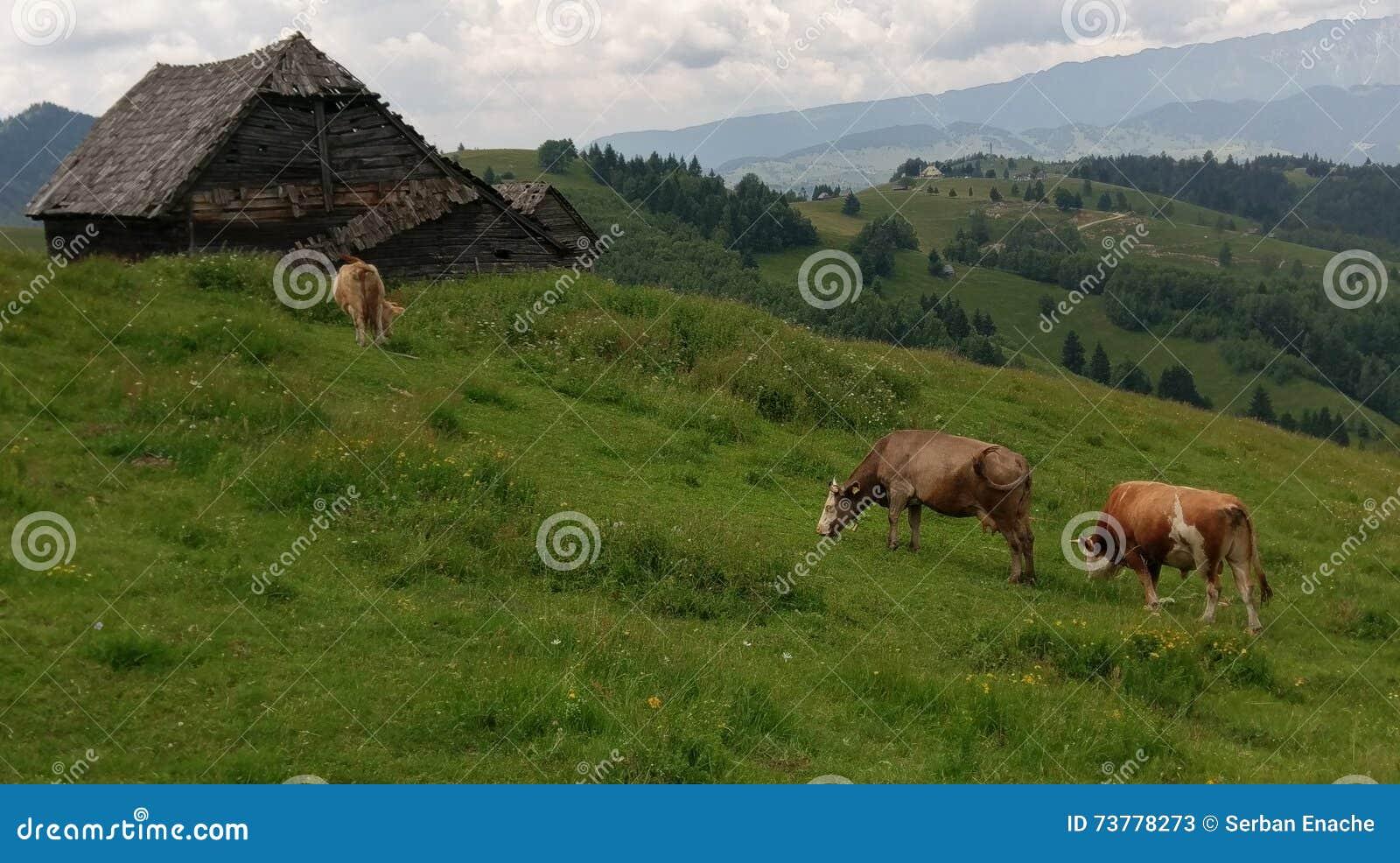 Mucche nel campo, Moieciu, crusca, Romania