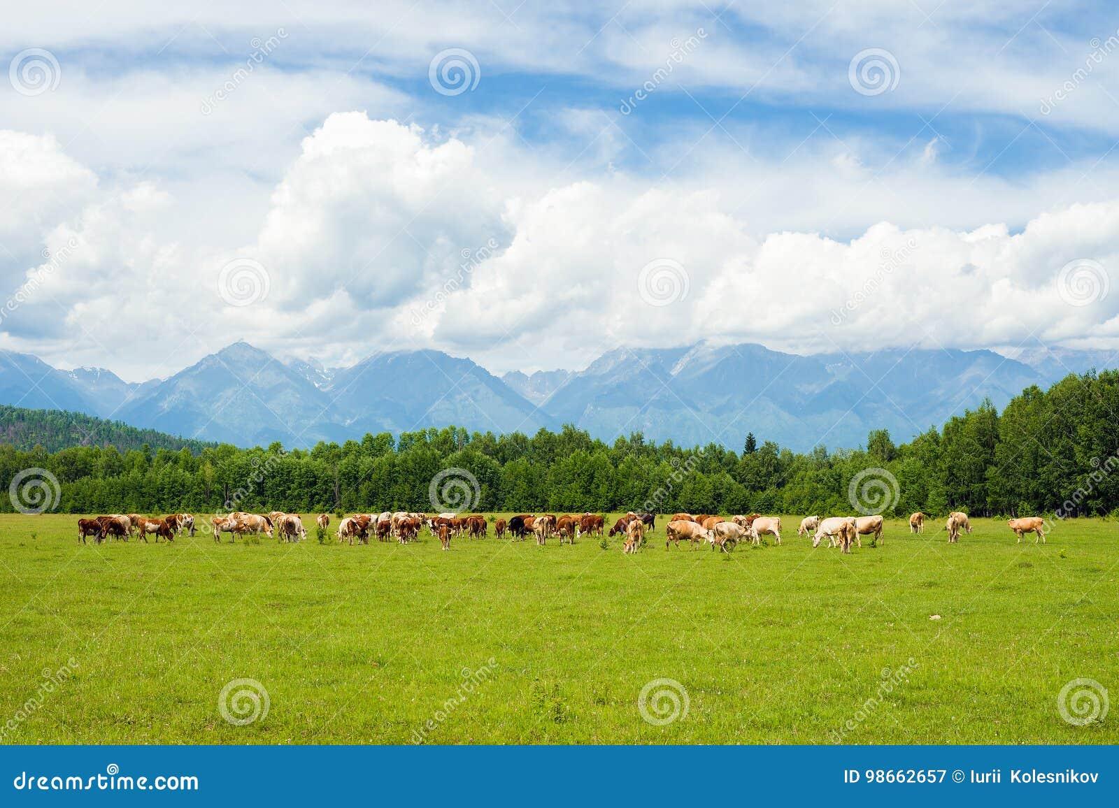 Mucche nel pascolo
