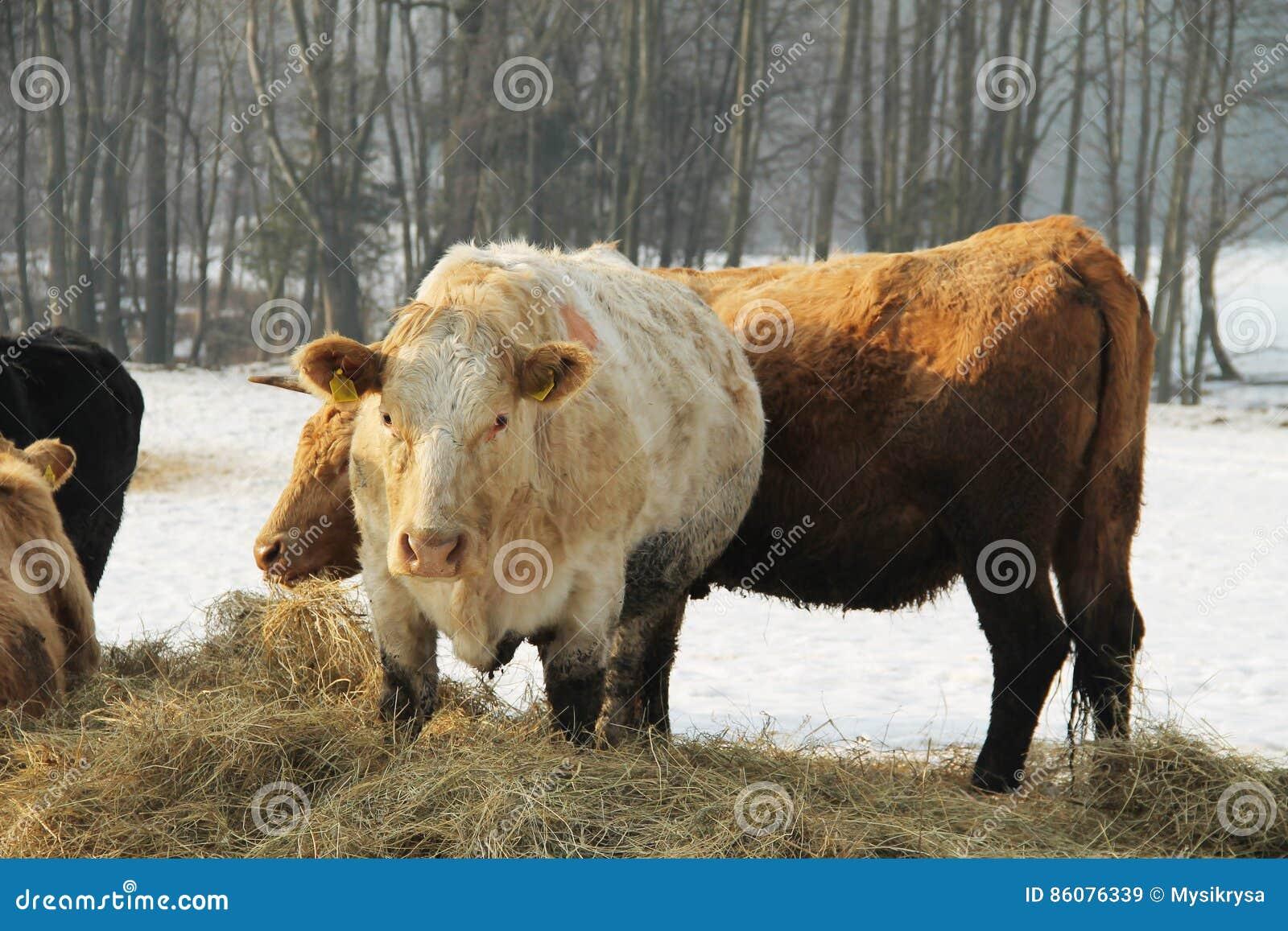 Mucche nell inverno