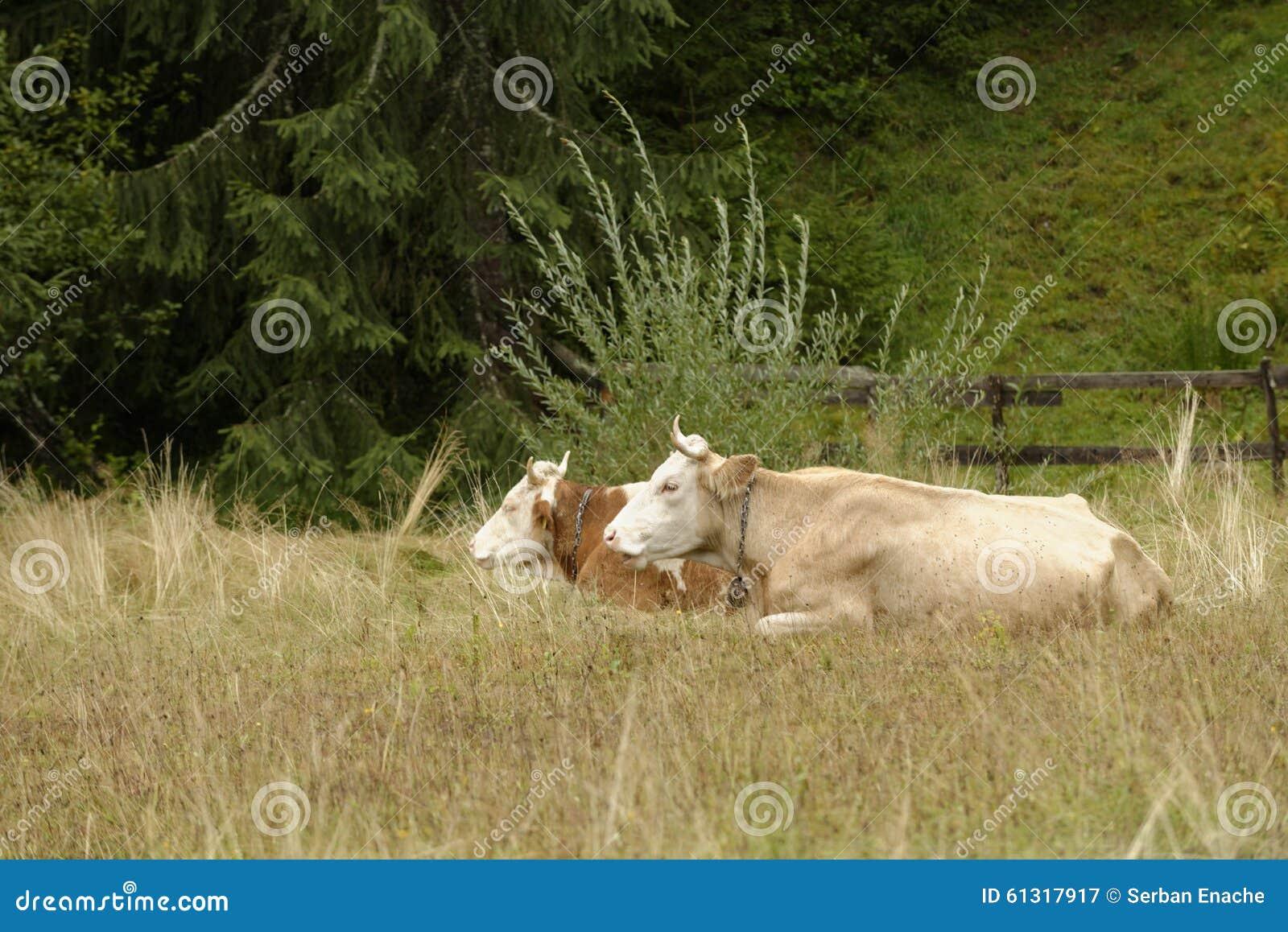 Mucche in pascolo, la Transilvania, Romania
