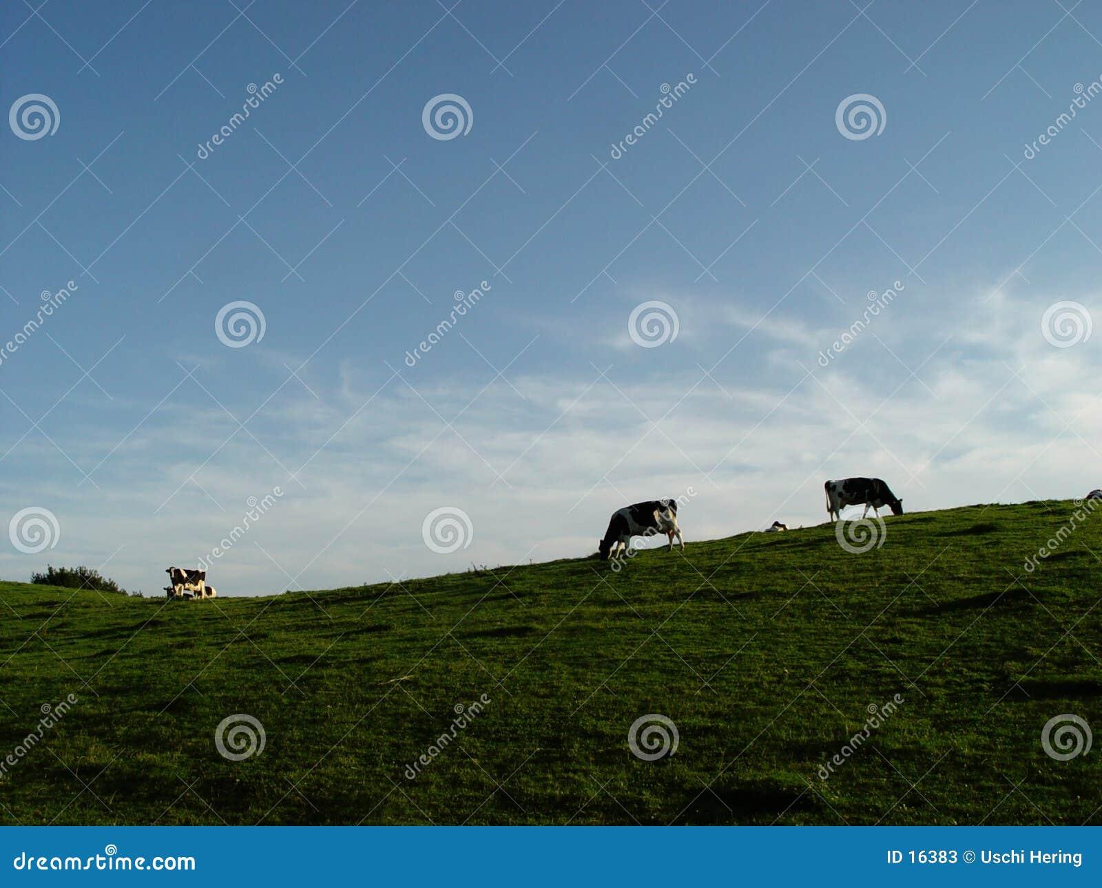 Mucche, prato, cielo