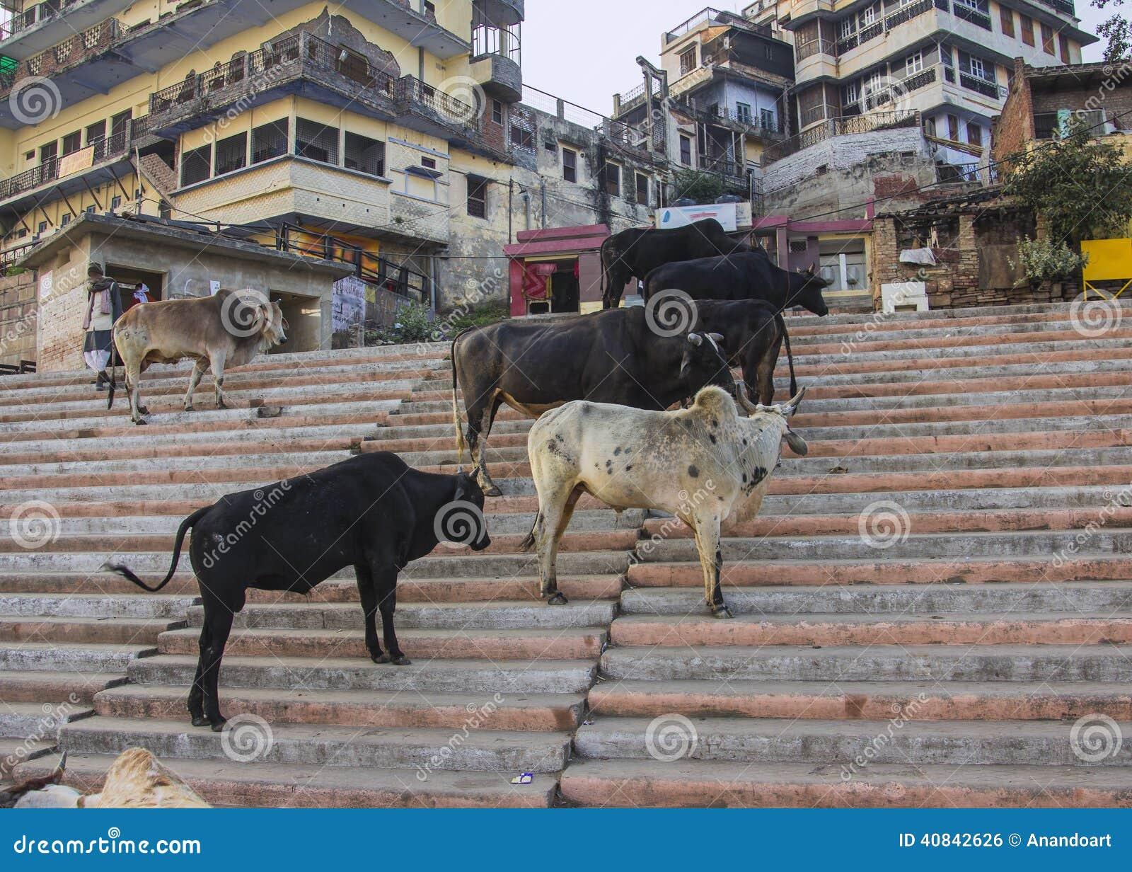 Mucche sante sui ghats santi