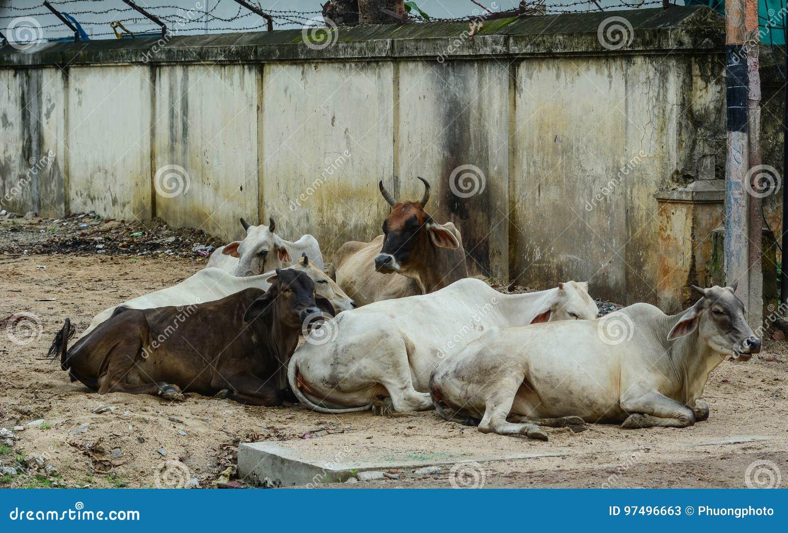 Mucche sante sulla via in Bodhgaya, India