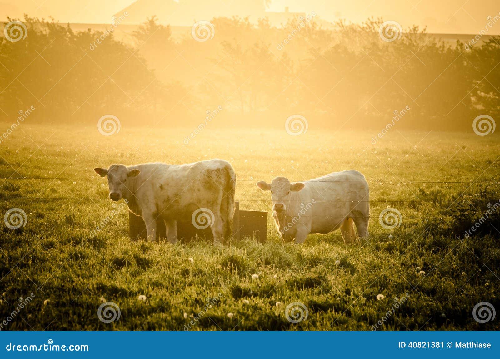 Mucche in sole