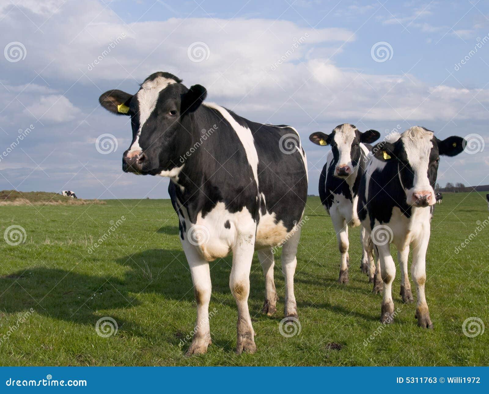 Download Mucche Su Terreno Coltivabile Immagine Stock - Immagine di derbyshire, latteria: 5311763