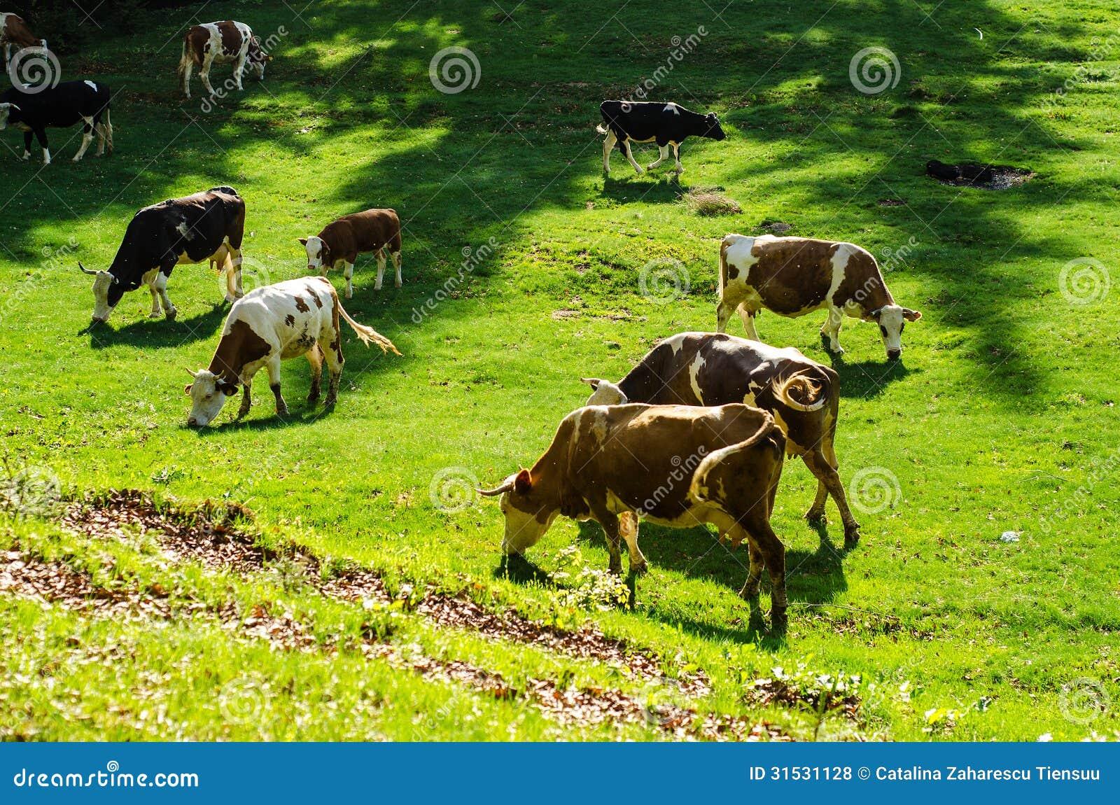 Mucche su un pascolo