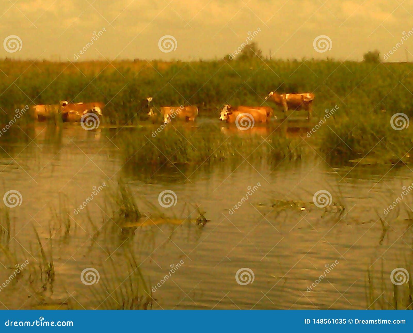 Mucche sul fiume ad un posto di innaffiatura