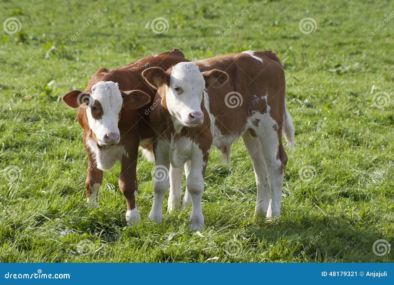 Mucche sul prato