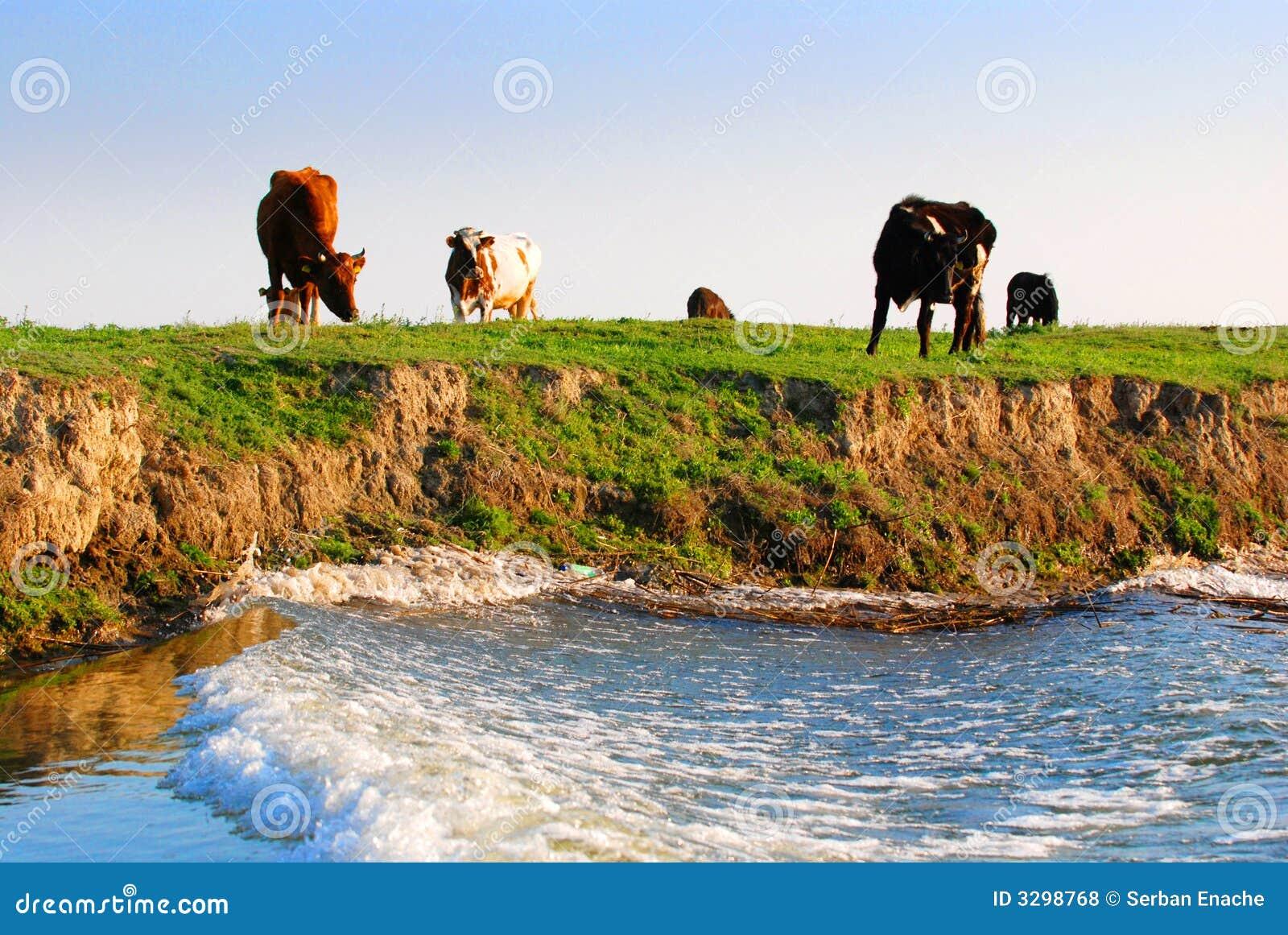 Mucche sul riverbank