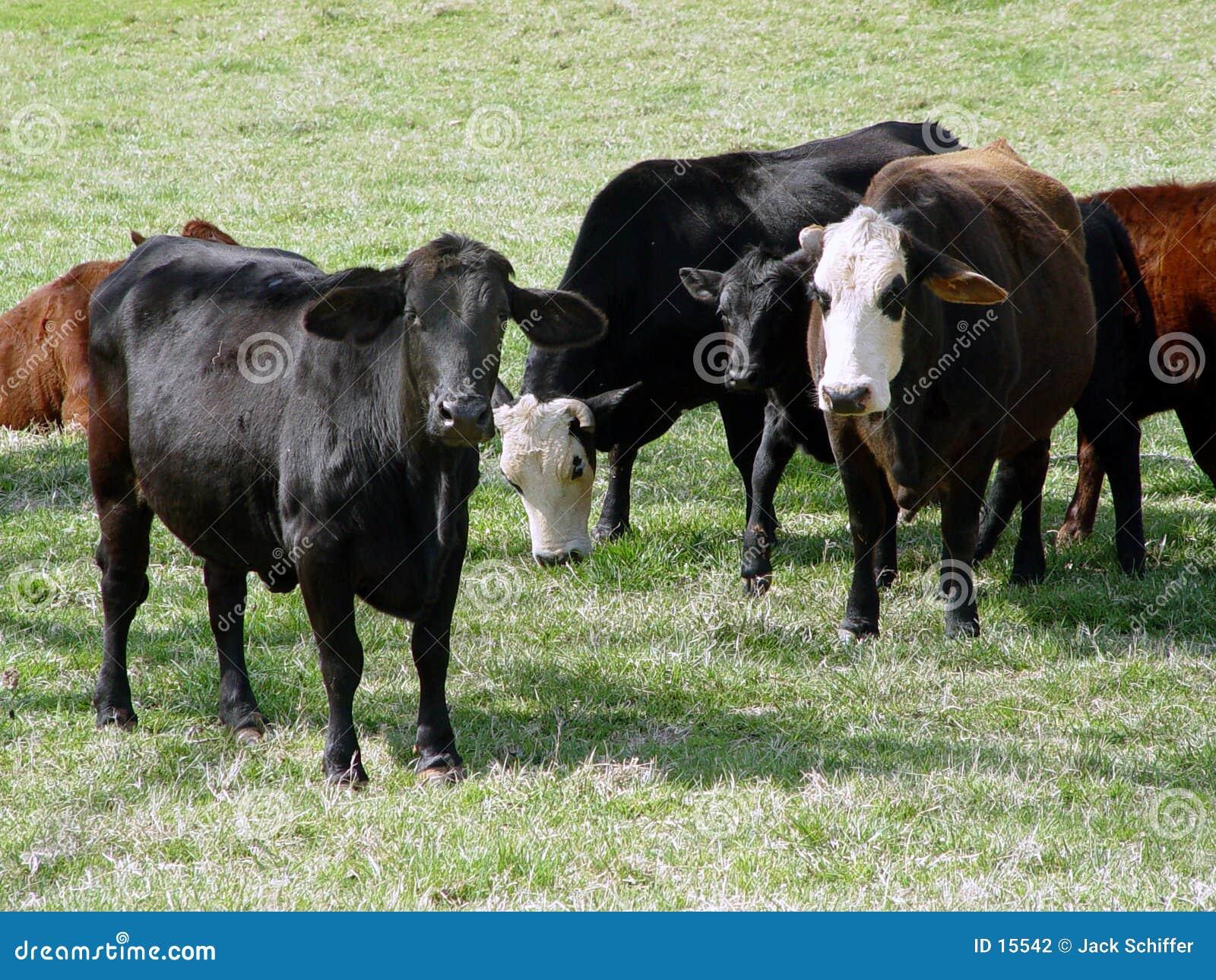 Mucche sull azienda agricola