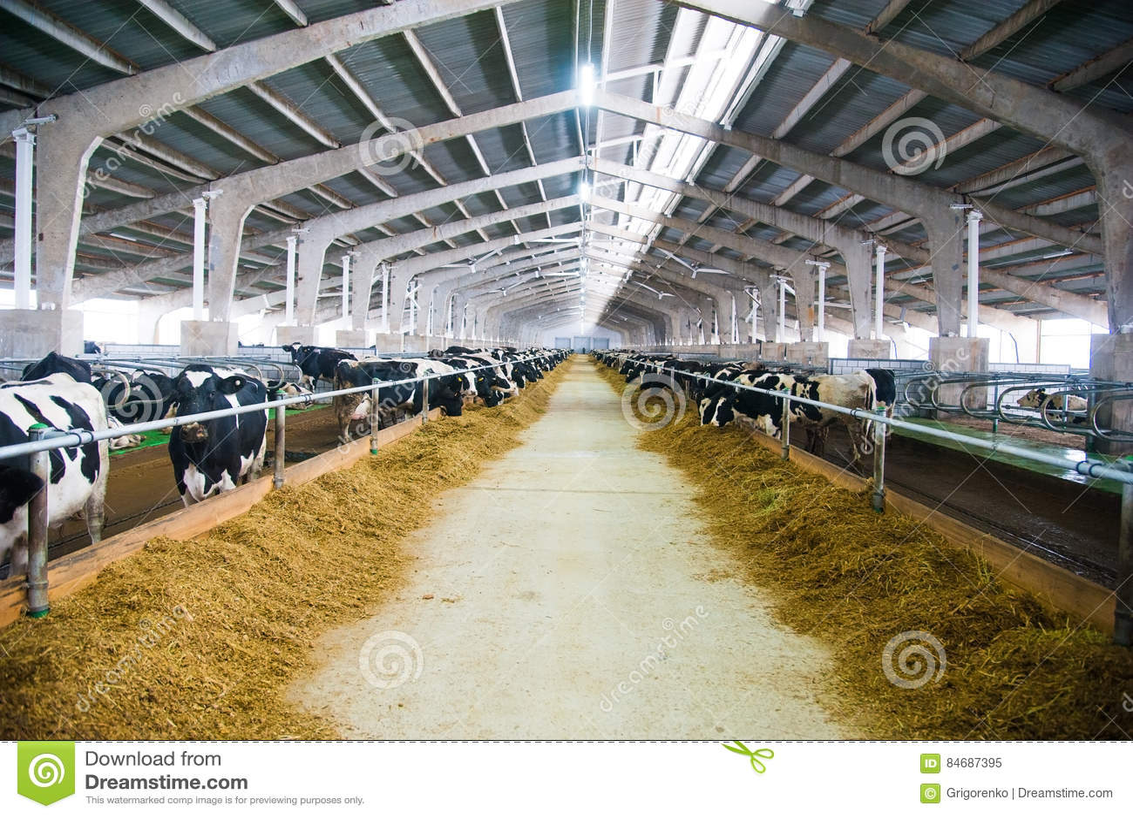 Mucche in un azienda agricola Mucche da latte
