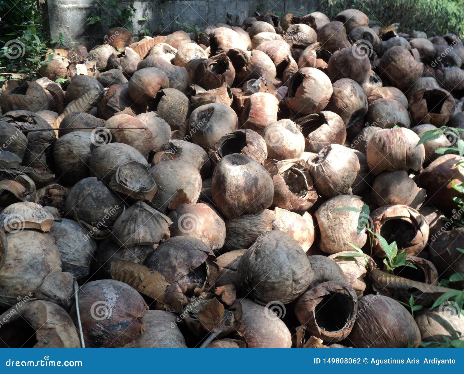 Mucchi asciutti della frutta della noce di cocco