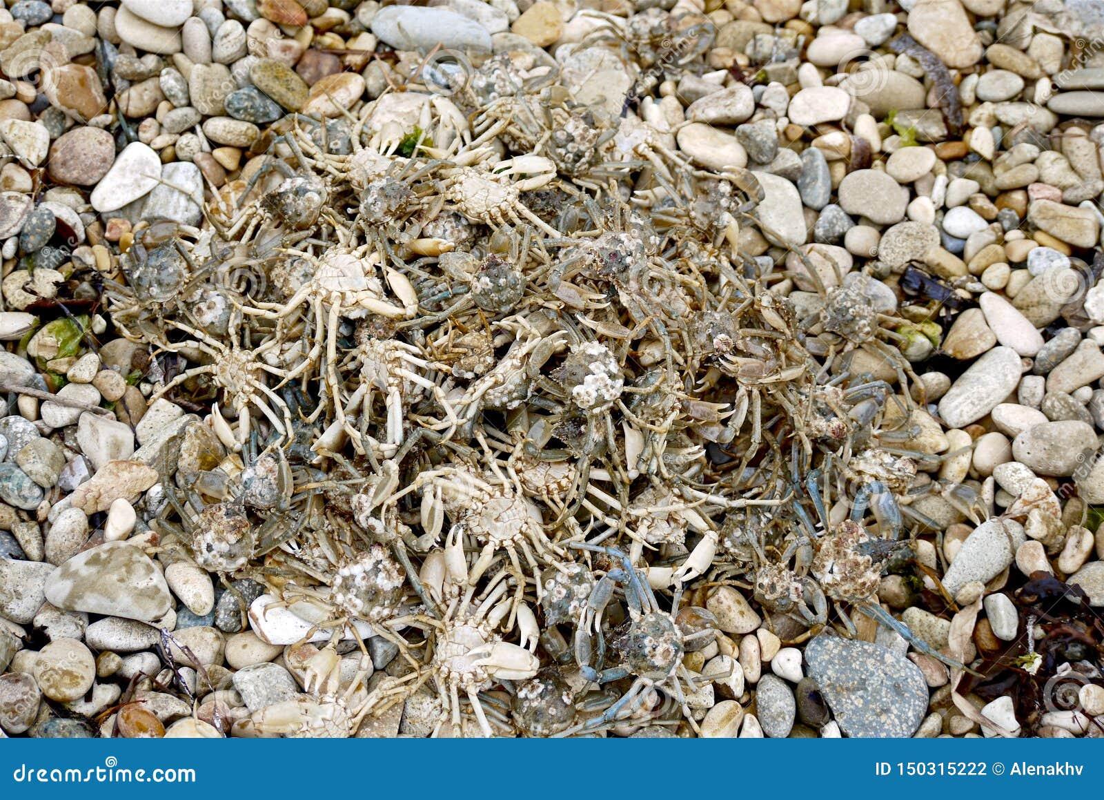 Mucchio di piccoli granchi viventi