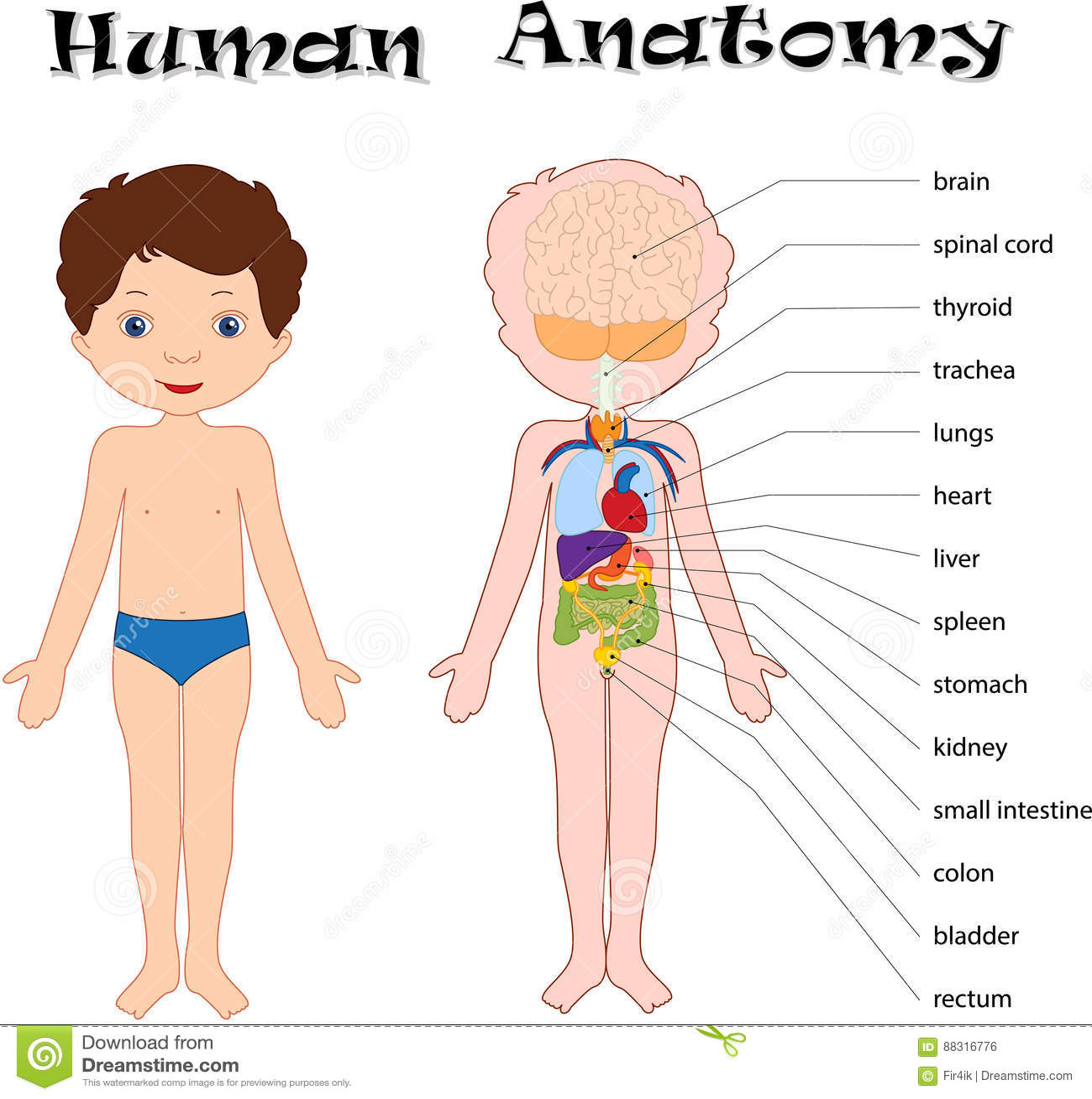 Muchacho Unclothed Anatomía Humana Para Los Niños Ilustración del ...