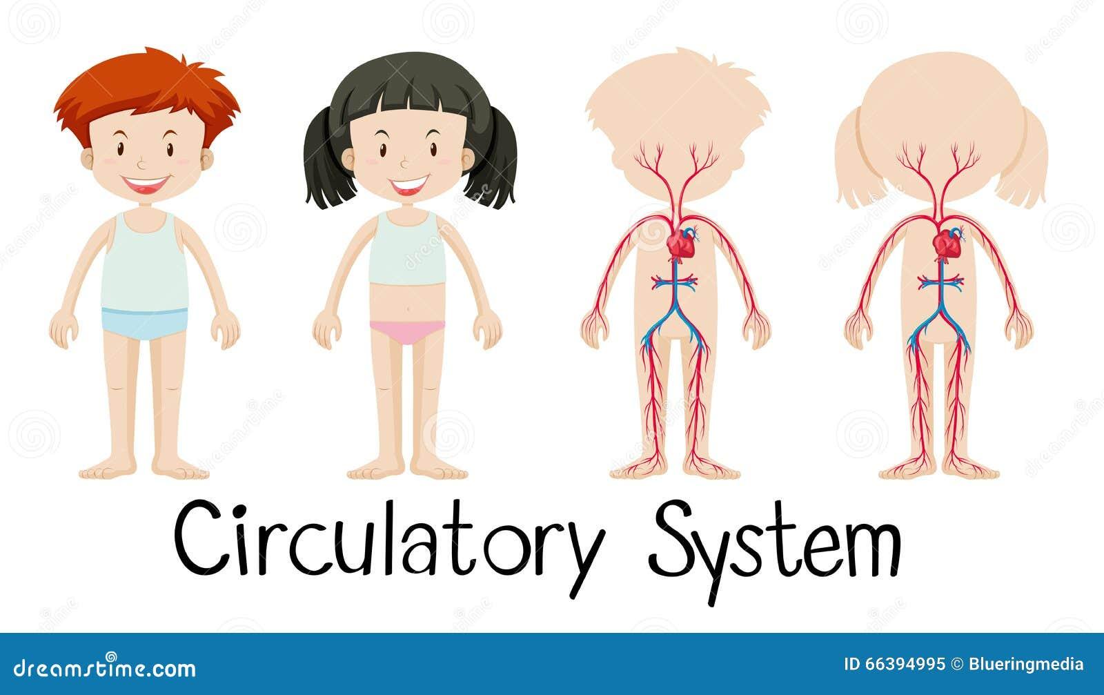 Muchacho Y Muchacha Con El Diagrama De Sistemas Circulatorio ...