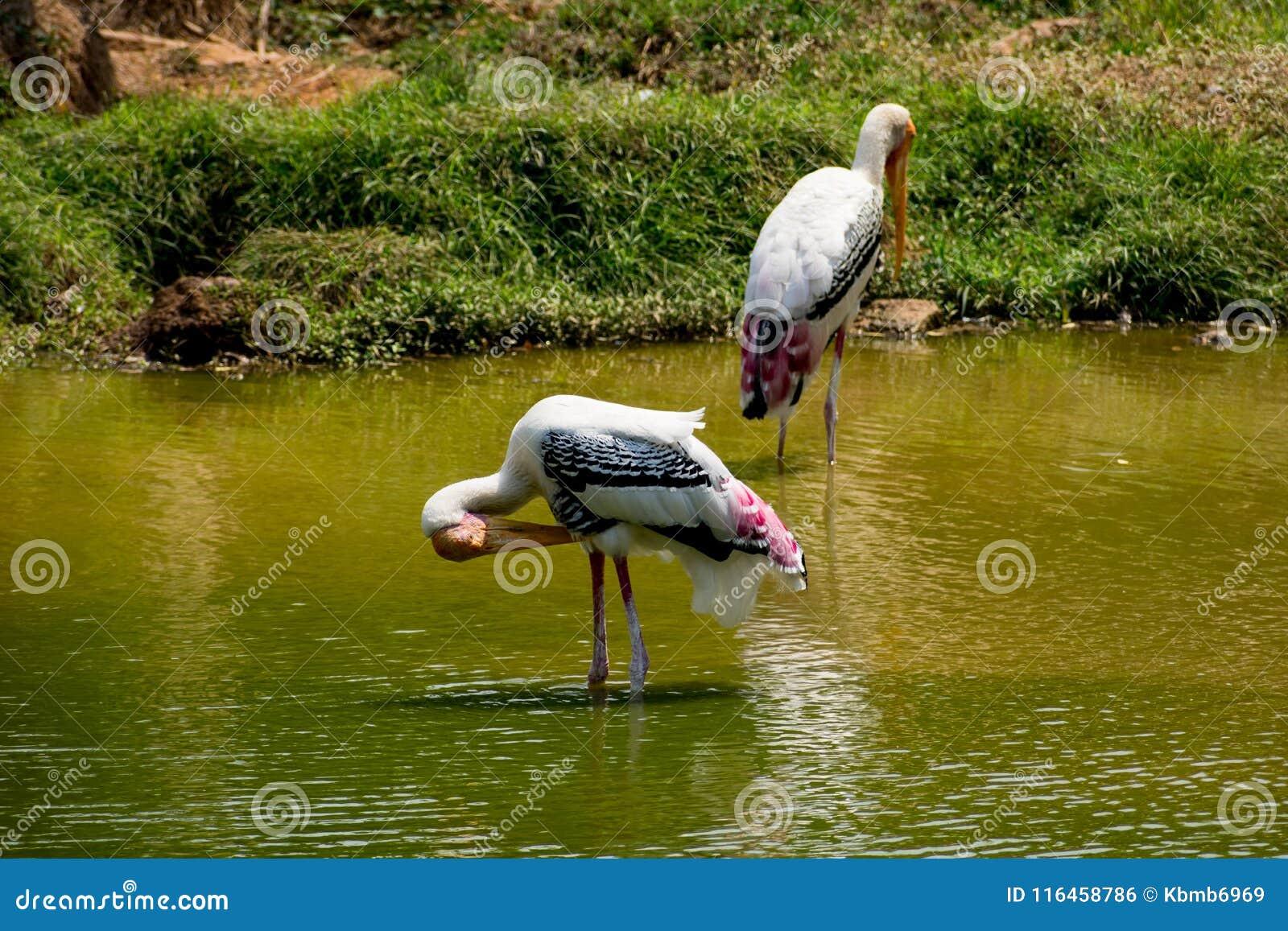 Muchas cigüeñas pintadas que buscan pescados en el agua en la opinión del cierre del parque zoológico