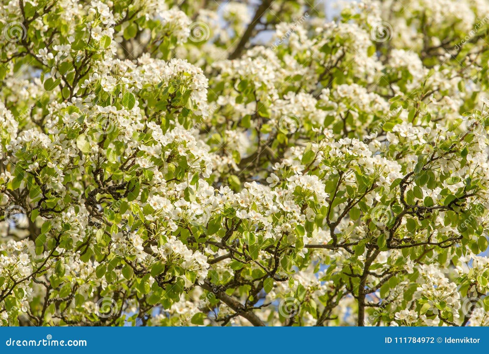 Muchas flores blancas en rama de peral en el jardín