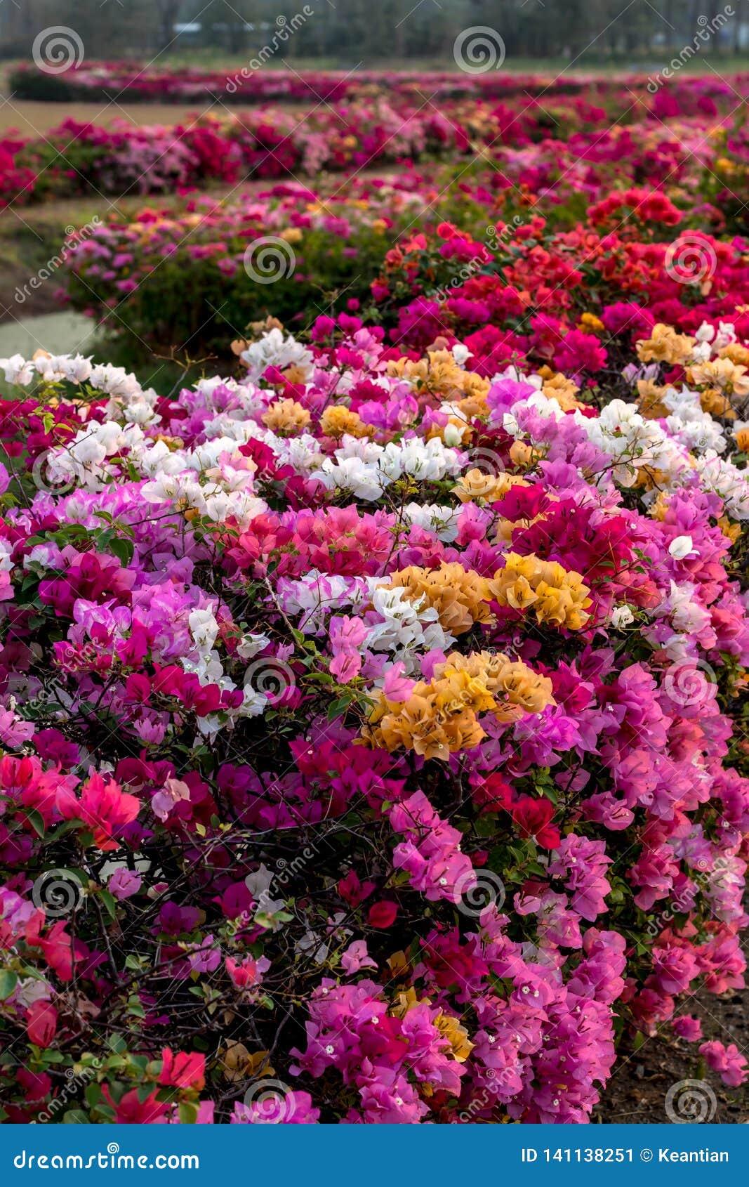 Muchas flores de la buganvilla en el jardín árido
