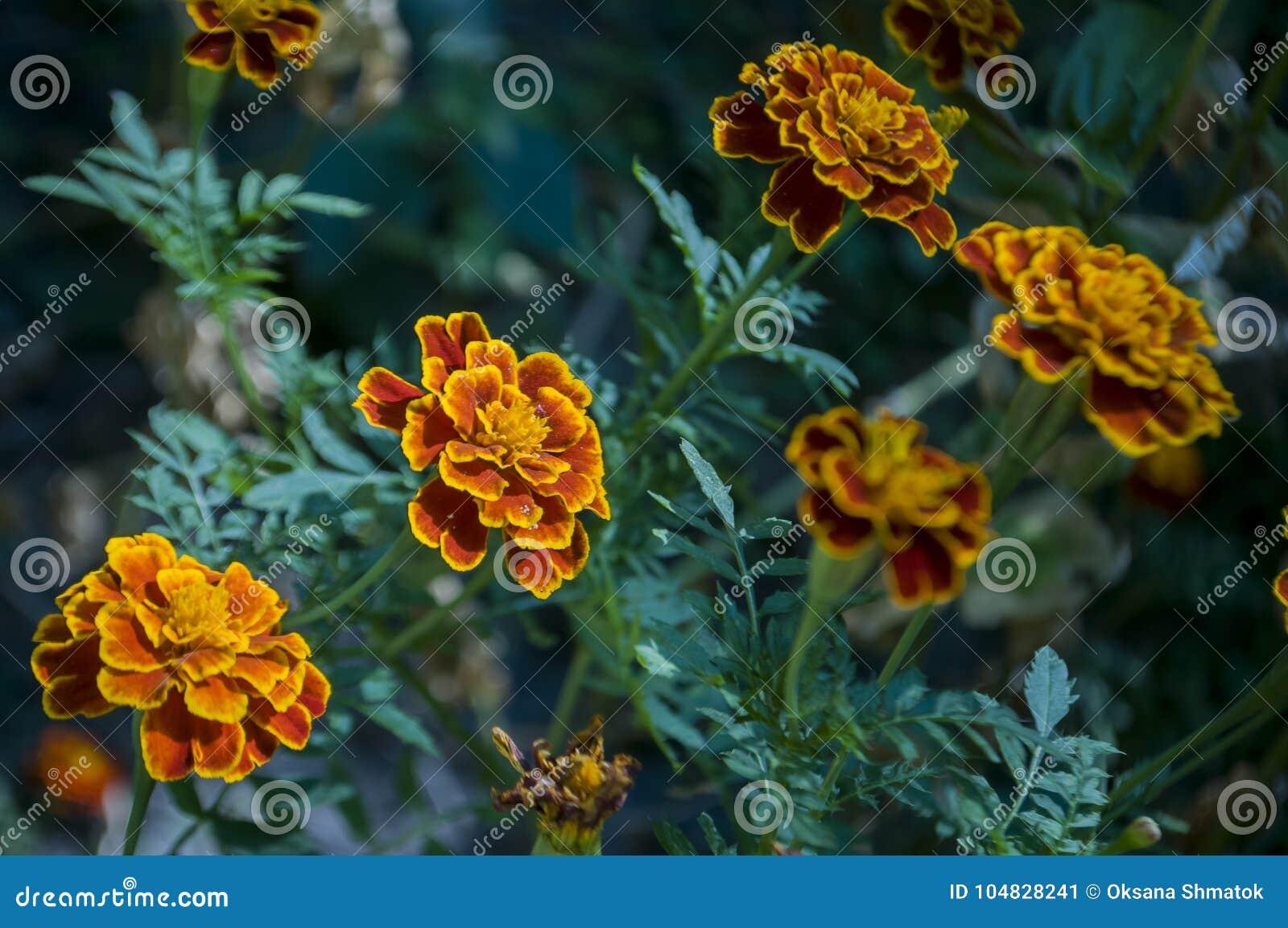 Muchas flores de las maravillas en el macizo de flores del otoño