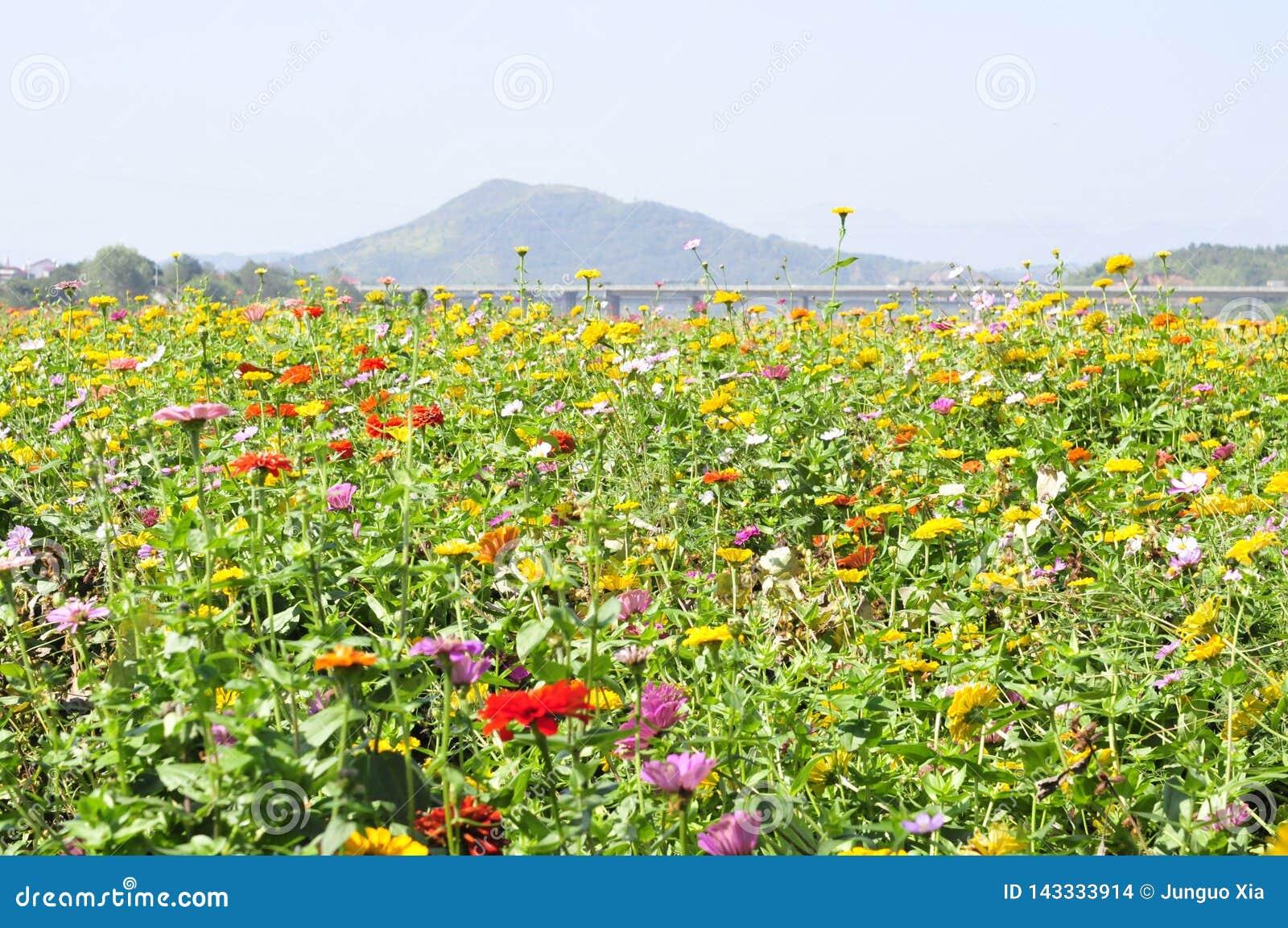 Muchas flores salvajes hermosas del crisantemo