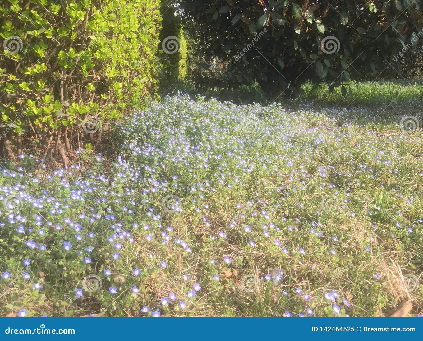 Muchas pequeñas flores azules hermosas en la primavera temprana