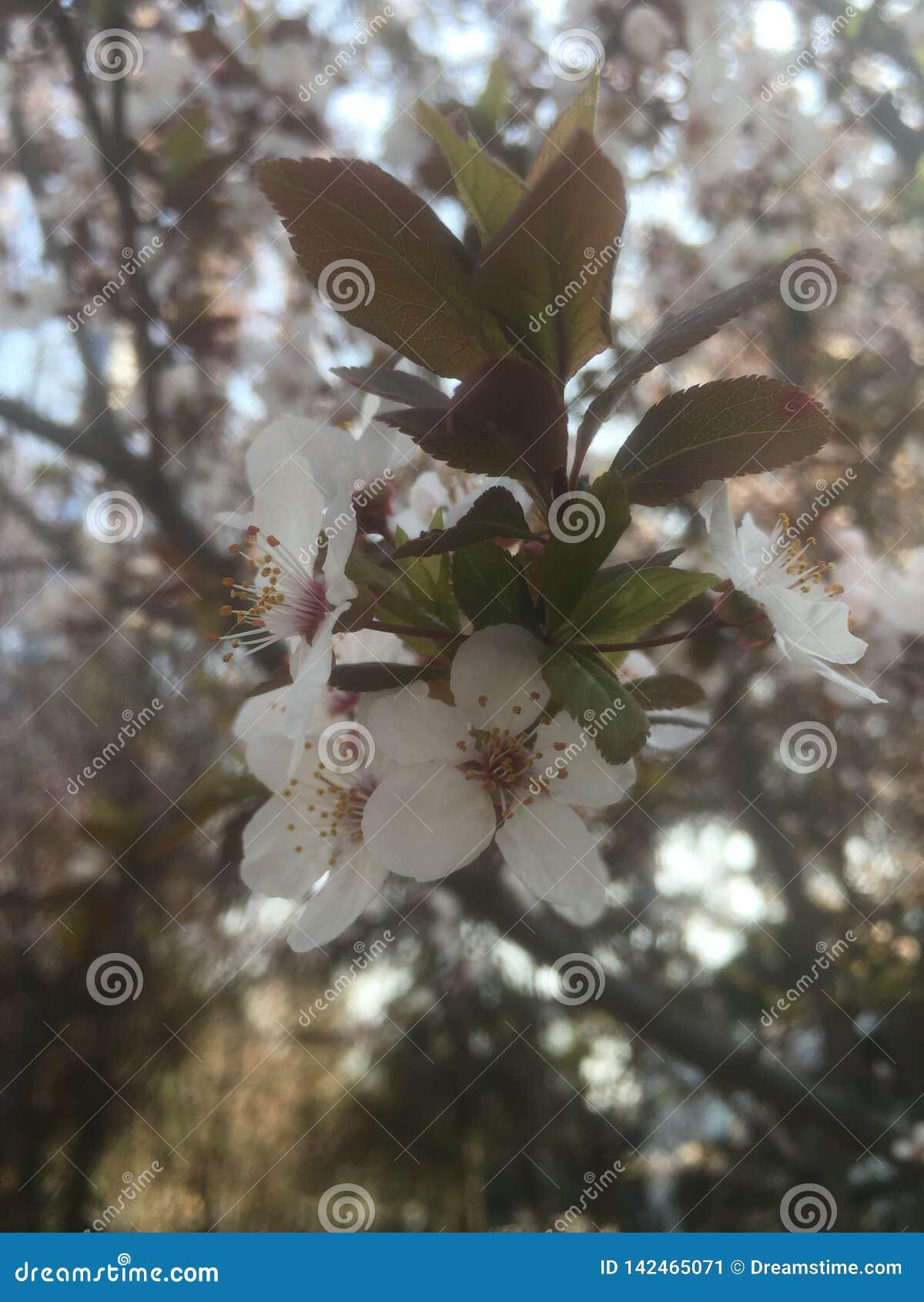 Muchas pequeñas flores blancas hermosas en la primavera temprana