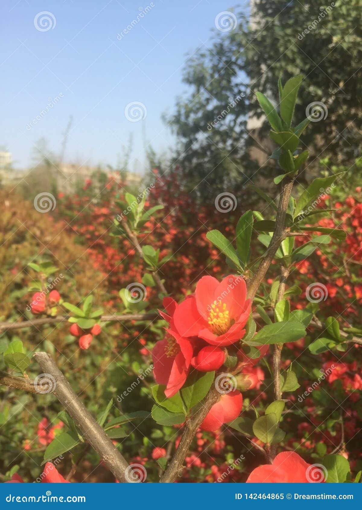 Muchas pequeñas flores rojas hermosas en la primavera temprana
