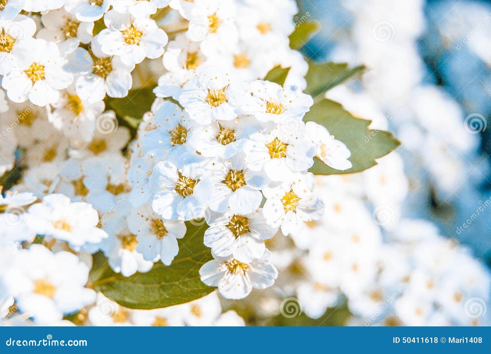 Muchas Pequeñas Flores Blancas Foto De Archivo