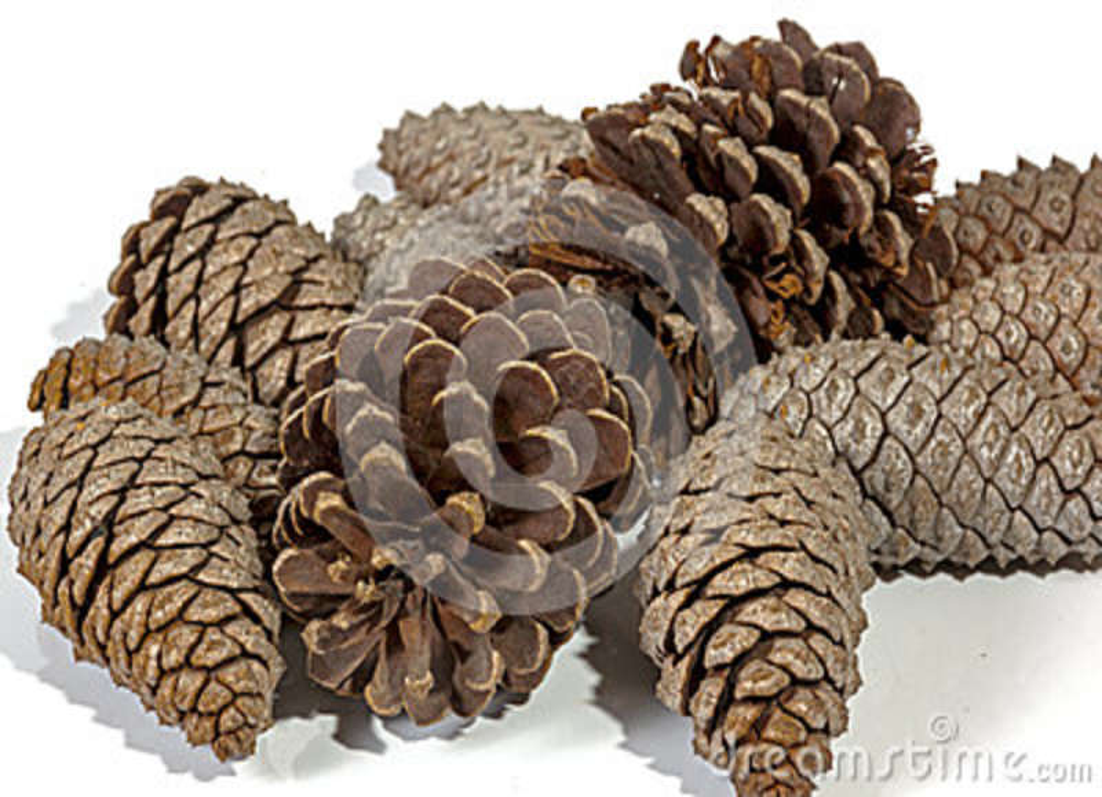 Mucho el cono natural del pino de Brown modela y las texturas