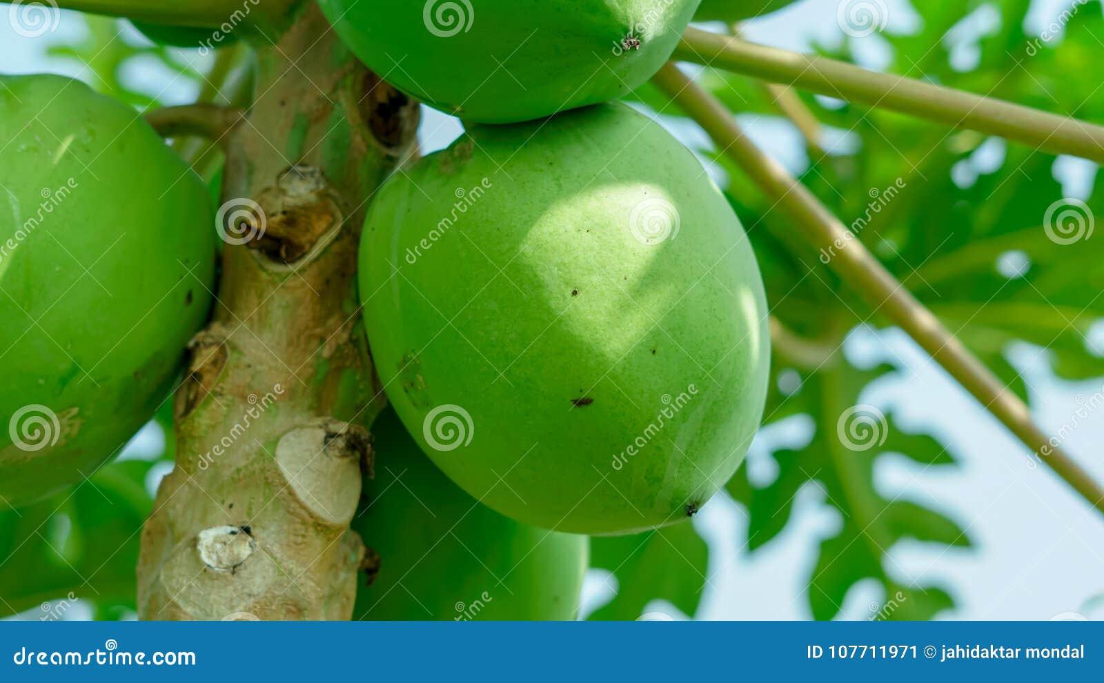 Mucho Papaya Grande Hunging En Un árbol En Agricultura India Imagen