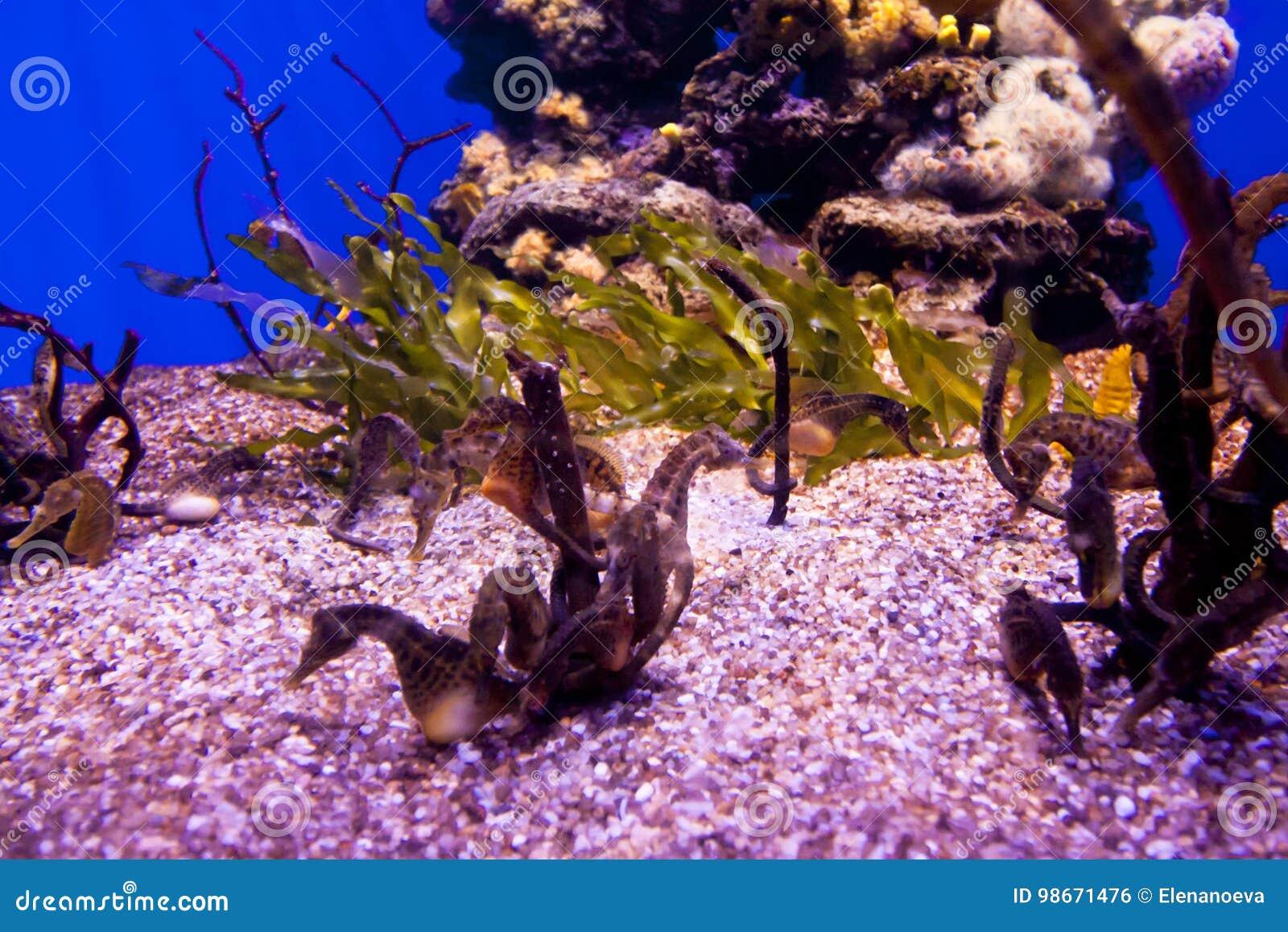 Muchos caballos de mar hermosos subacuáticos en acuario