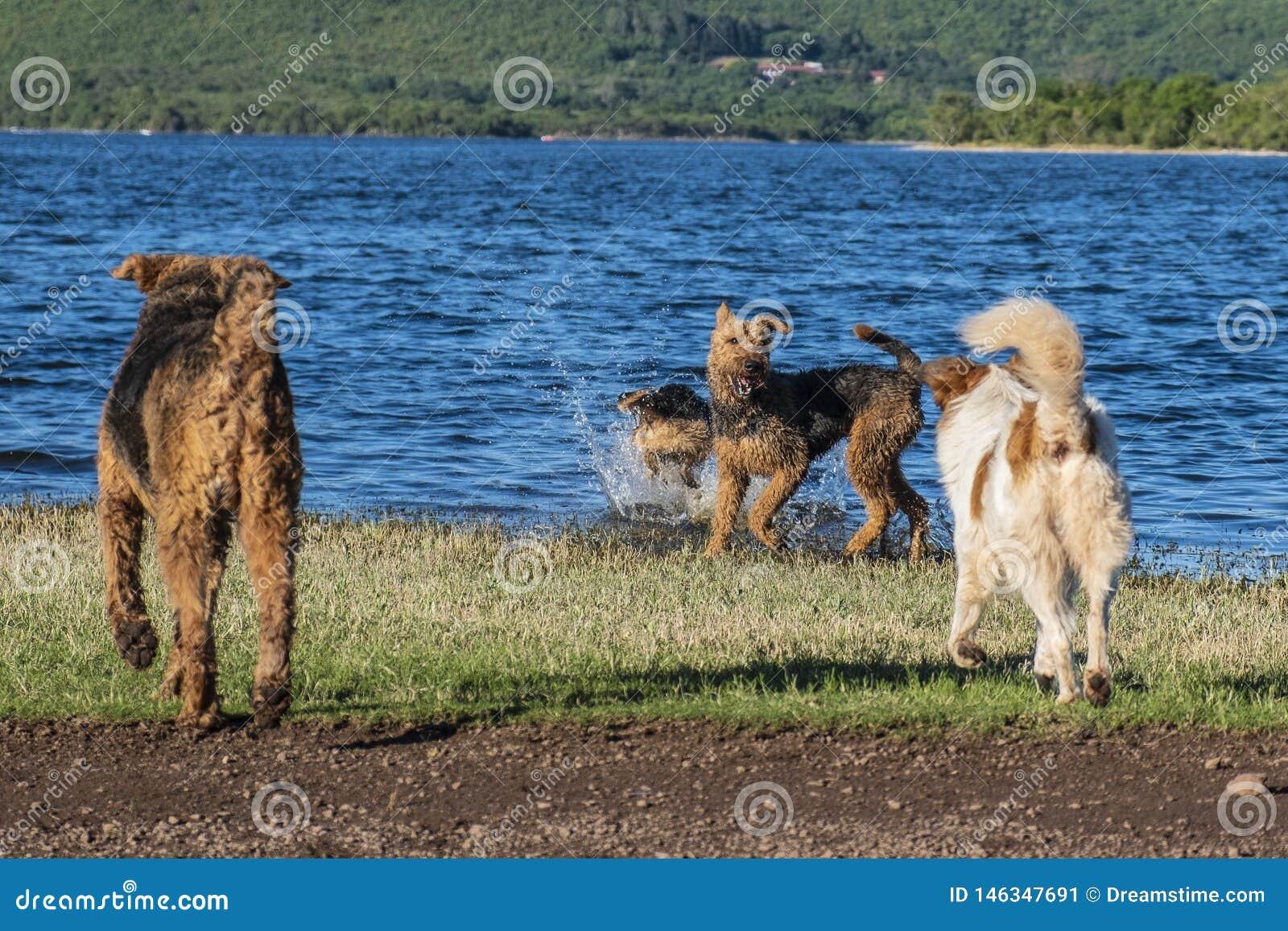 Muchos perros que juegan en la orilla de un lago